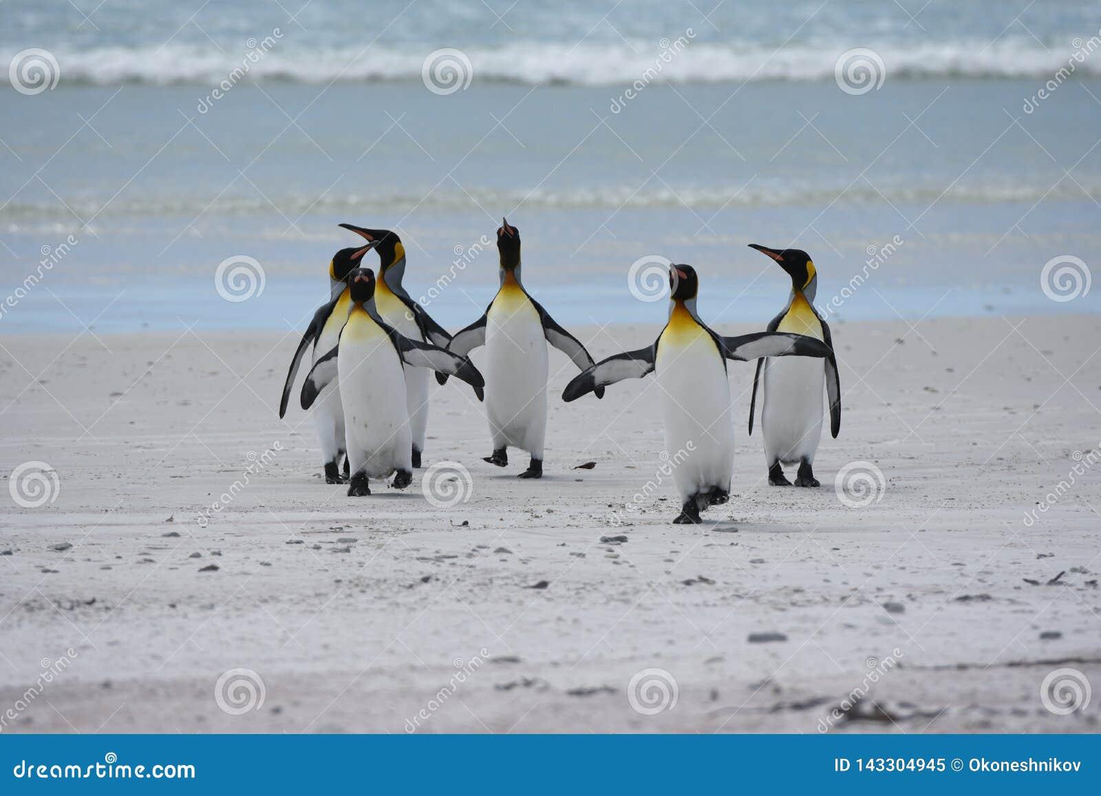 Koning Penguins in Vrijwilligerspunt, Falkland Islands