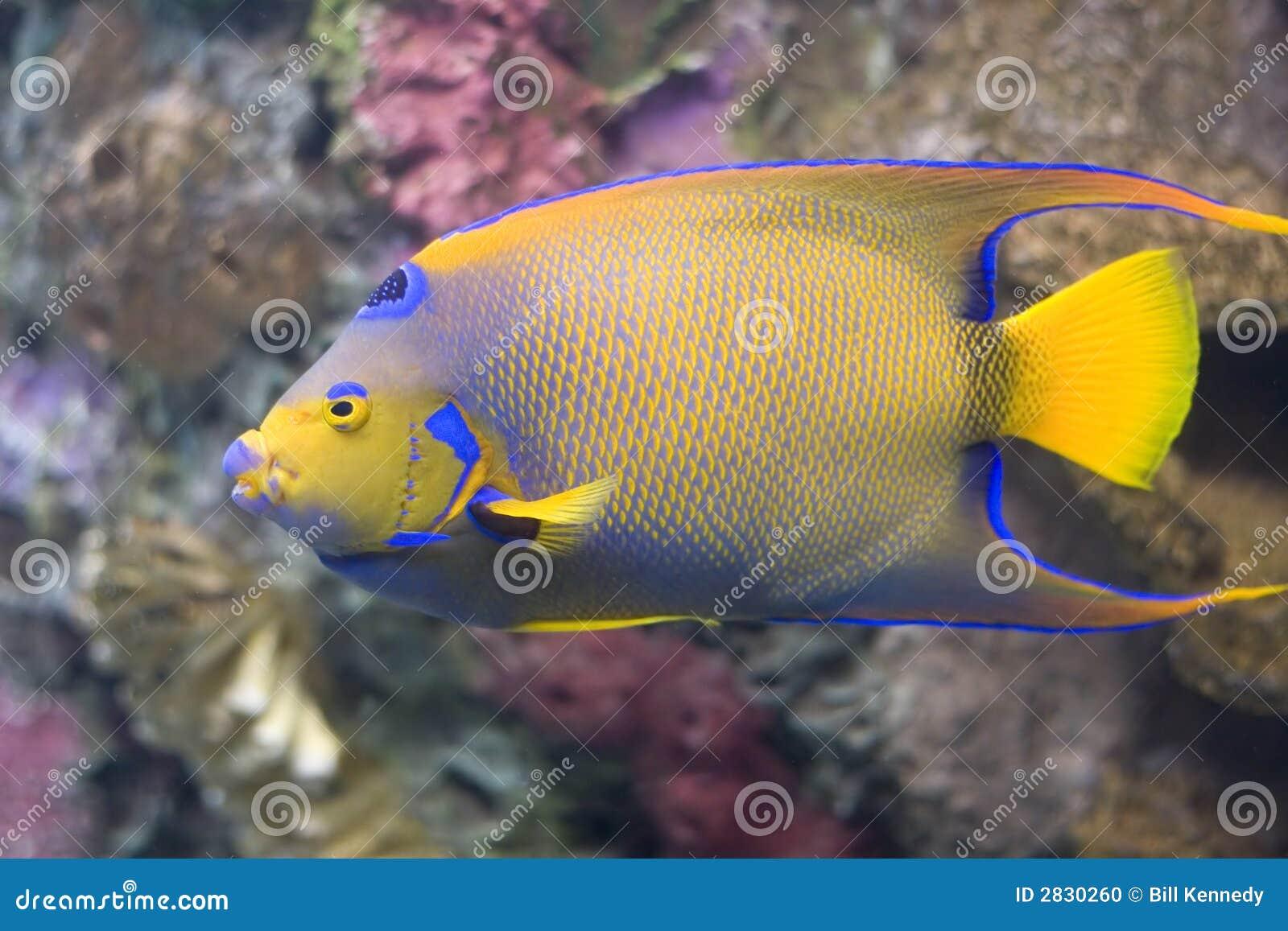 Koningin Angelfish