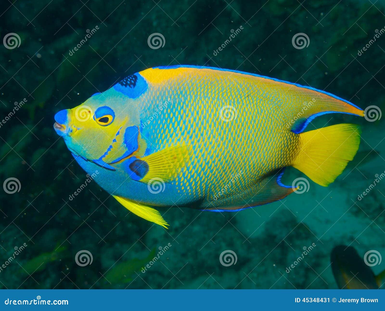Koningin Angelfish 01