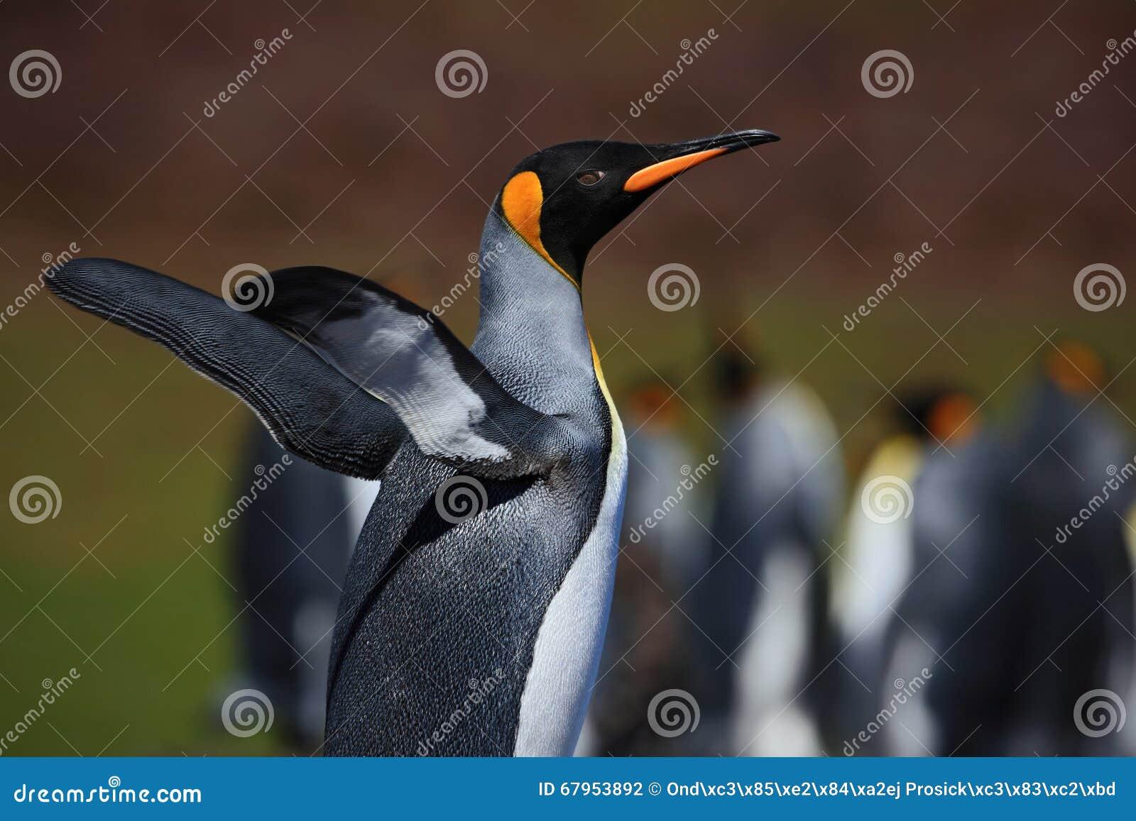 Koningspinguïn, Aptenodytes-patagonicus met uitgespreide vleugels, vage pinguïnen op achtergrond, Falkland Islands