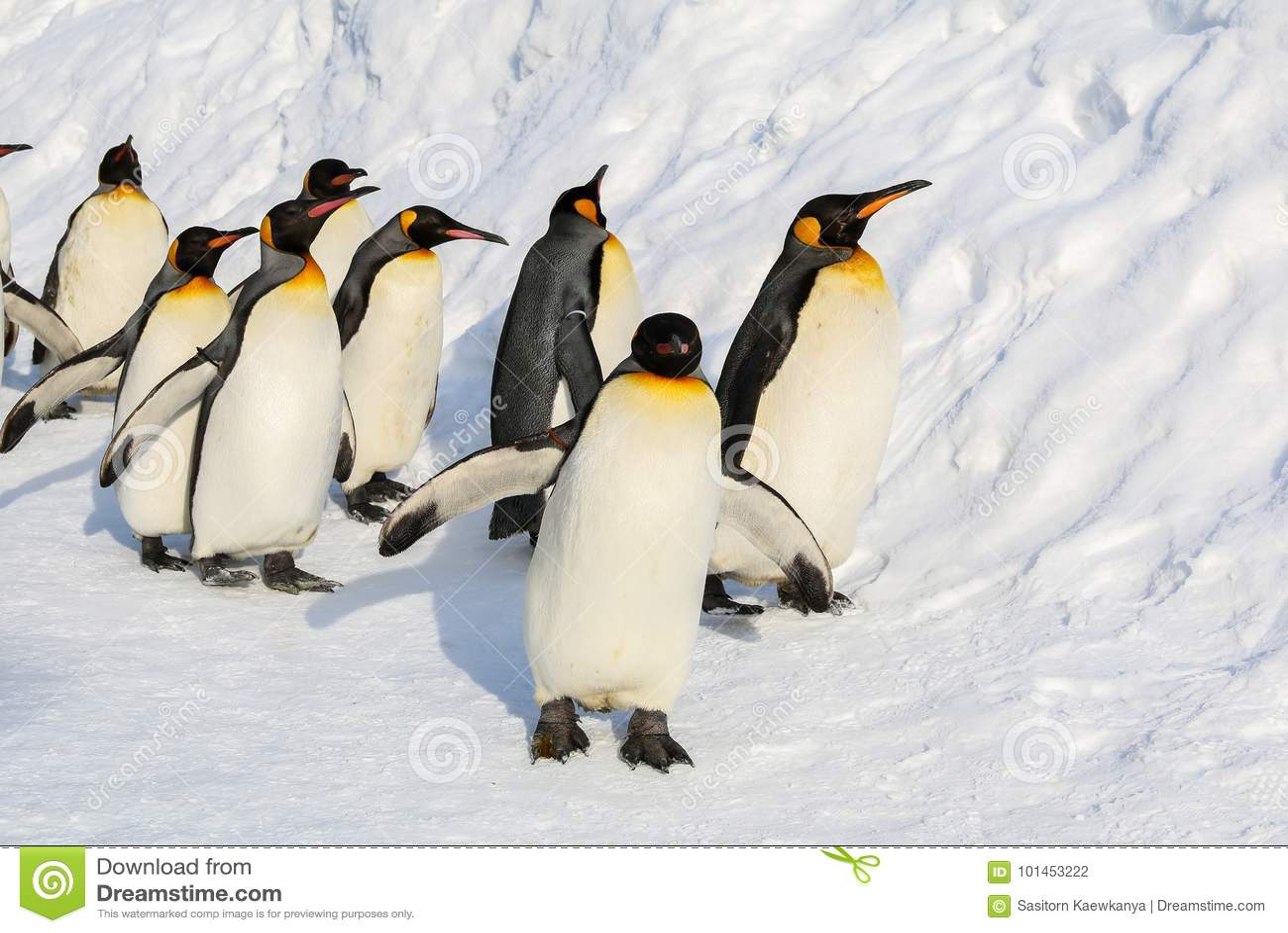 Koningspinguïnen die op de sneeuw lopen