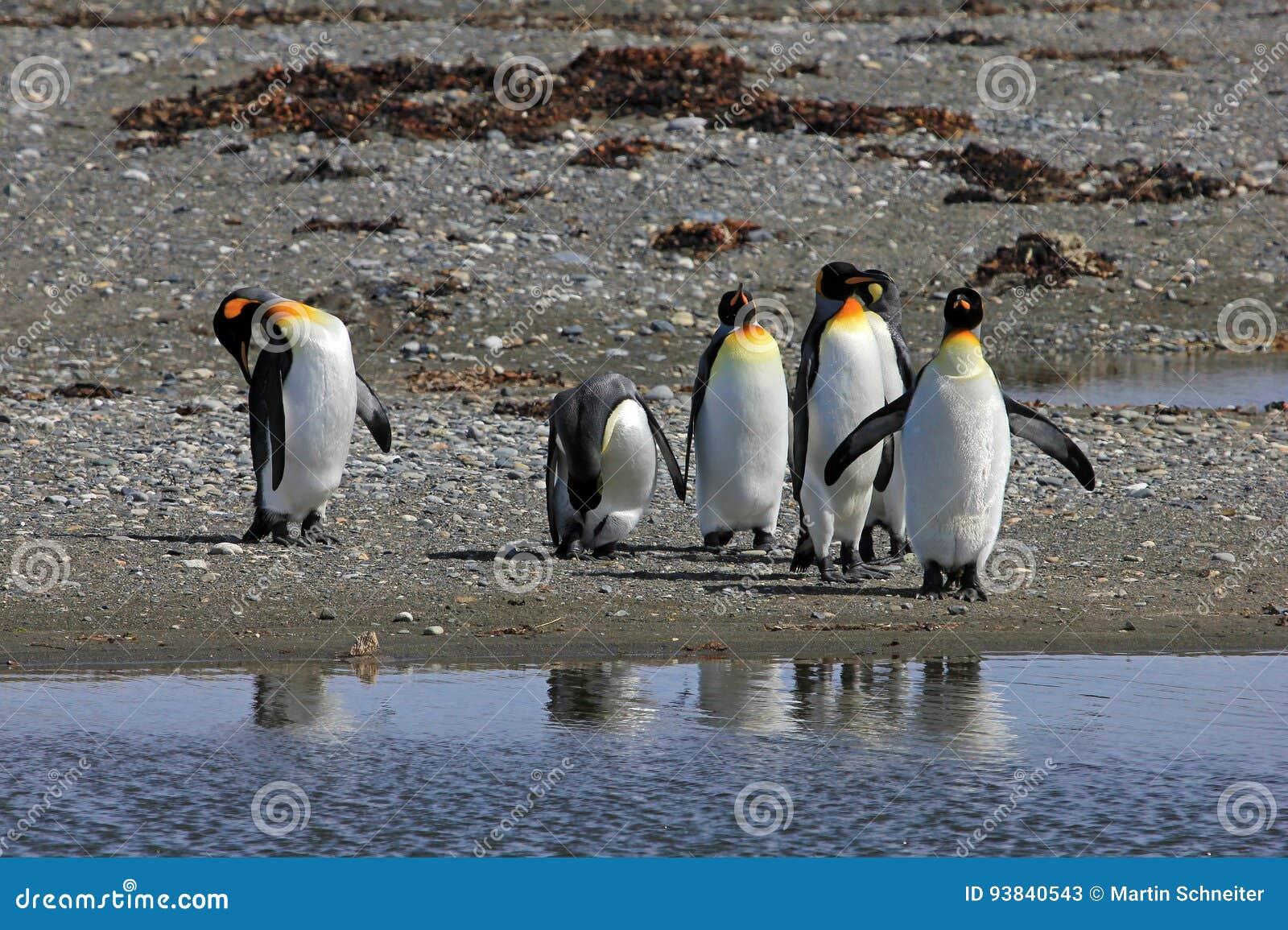 Koningspinguïnen het leven wildernis in Parque Pinguino Rey, Patagonië, Chili