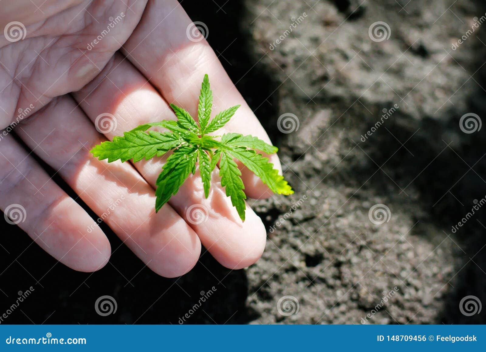 Konopie kie?kuje doro?ni?cie Rolnicy zasadzaj? marihuany rozsady R?ki zbli?enie z marihuany rozsad? outdoors