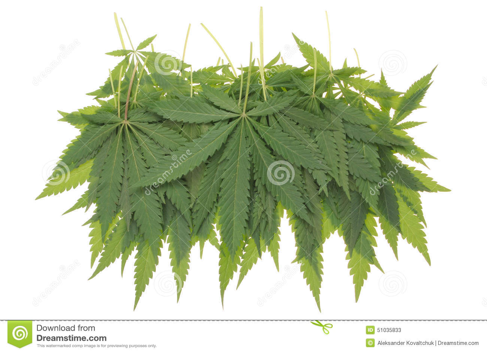 Konopie (marihuany)