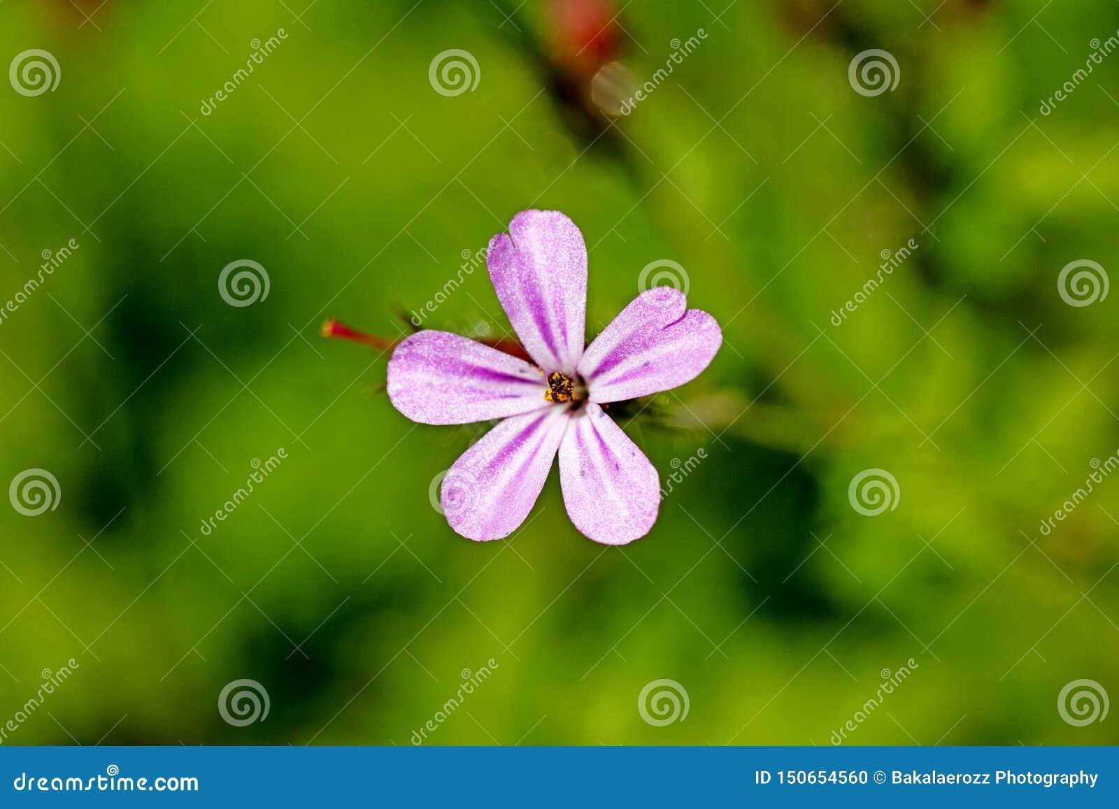 Konst för bakgrund för makro för familj för Geraniaceae för pelargonrobertianumblomma i högkvalitativa tryckprodukter femtio mega