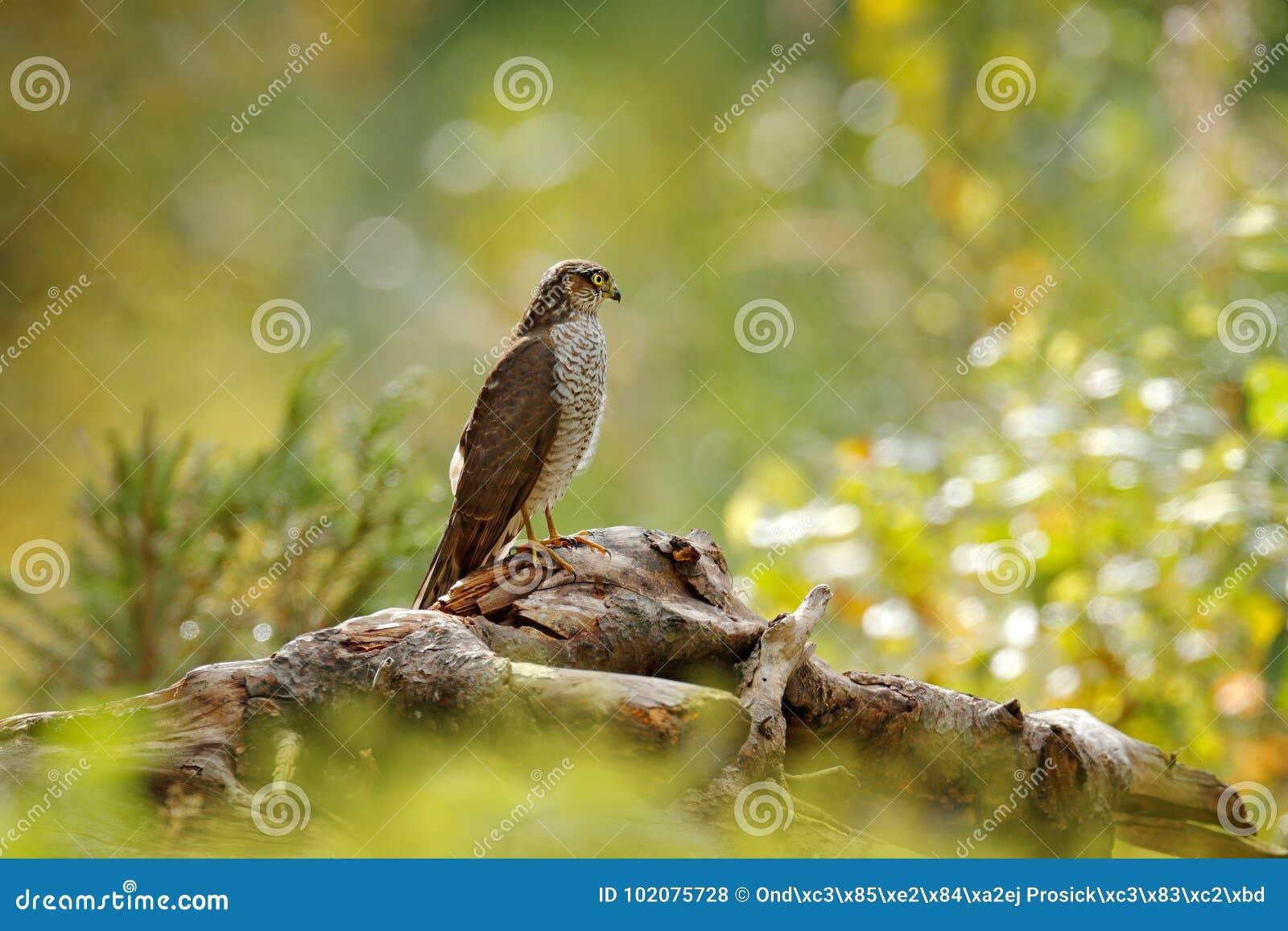 Konstsikt av naturen Härlig skog med fågeln Fåglar av roveurasianen Sparrowhawk, Accipiternisus som sitter på trädstubbe Hök mig