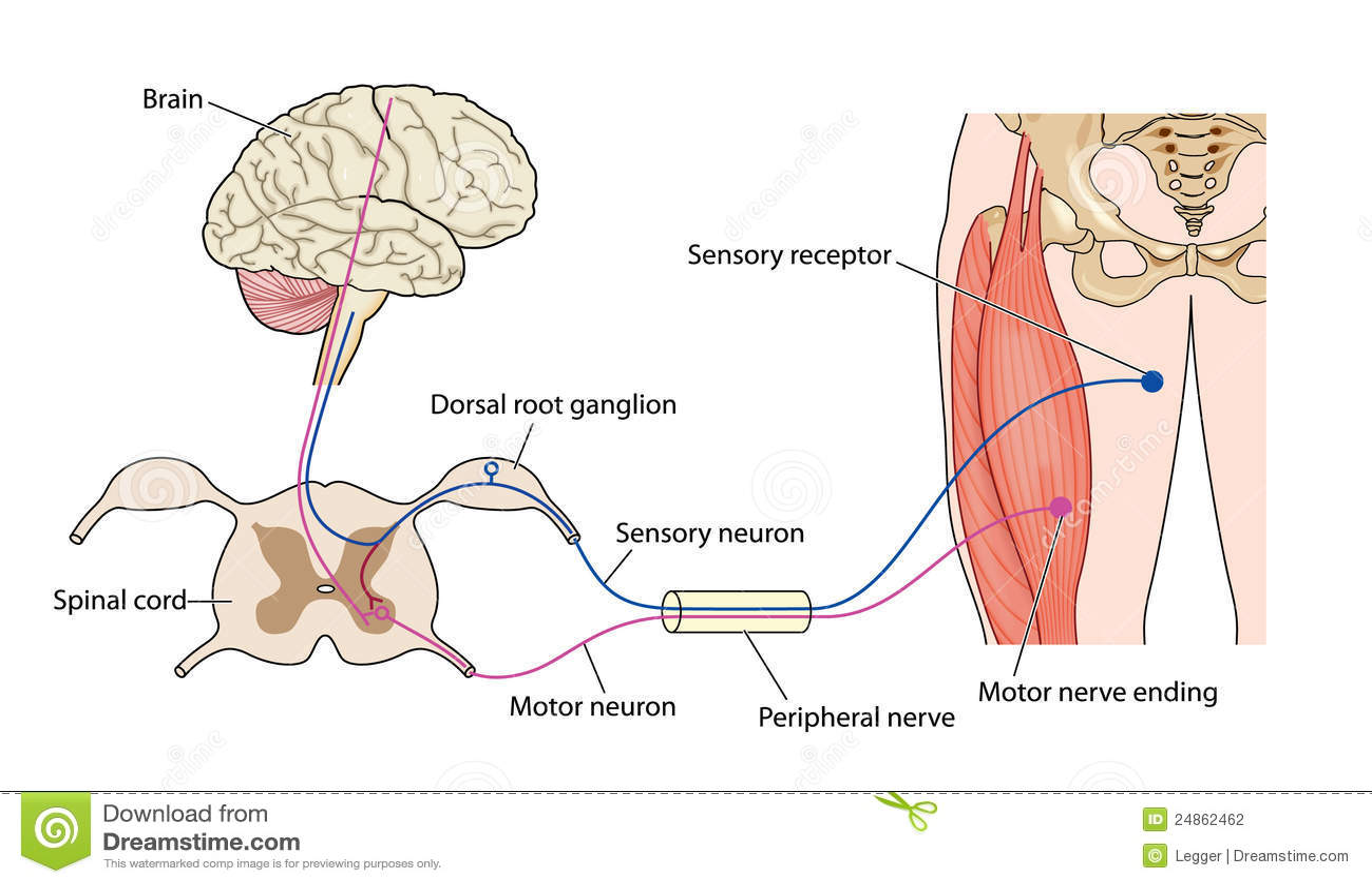 Kontrollera Muskelnerven Arkivbild Bild 24862462