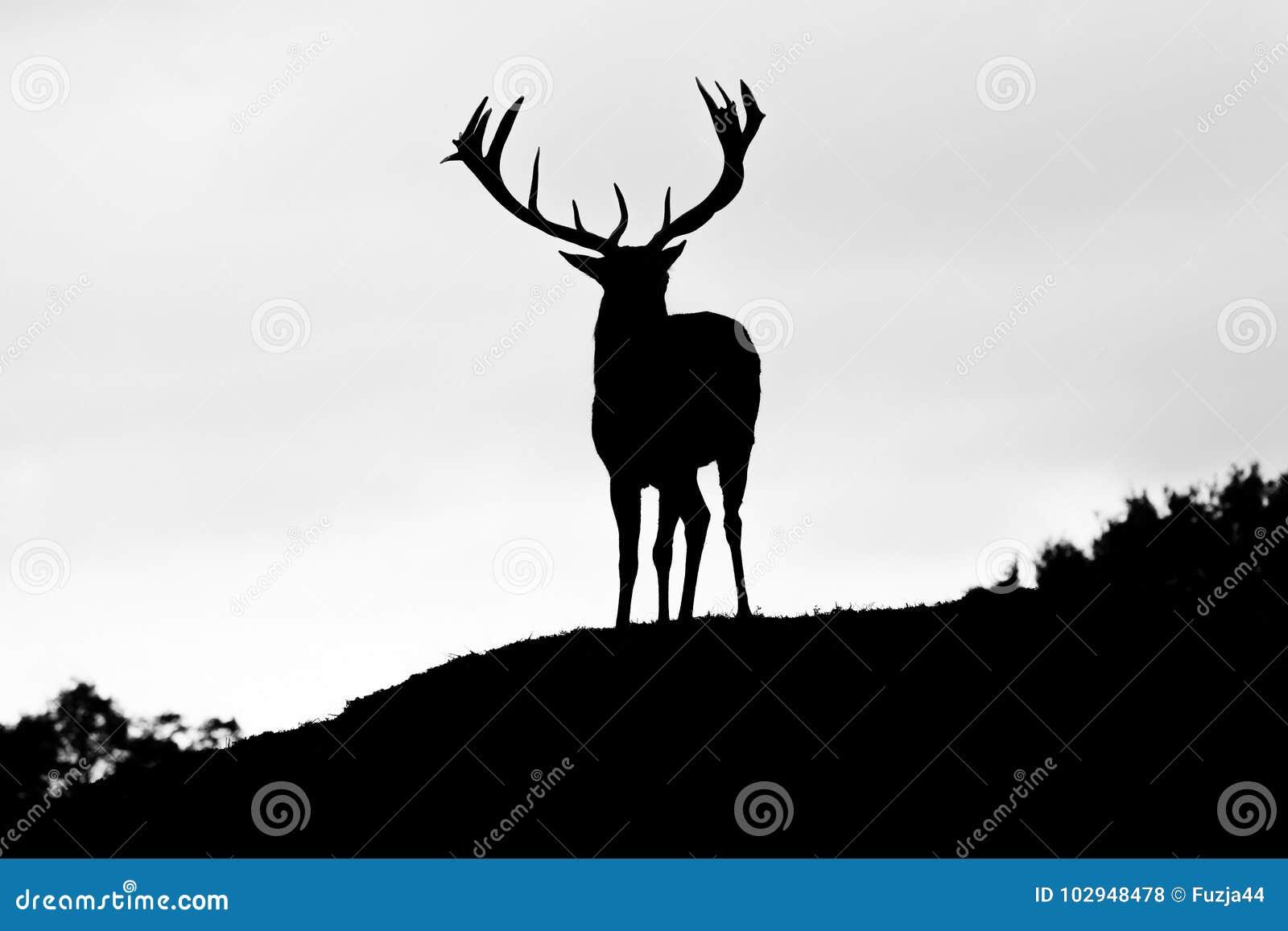 Kontur av den majestätiska fullvuxna hankronhjorten för röda hjortar i Autumn Fall