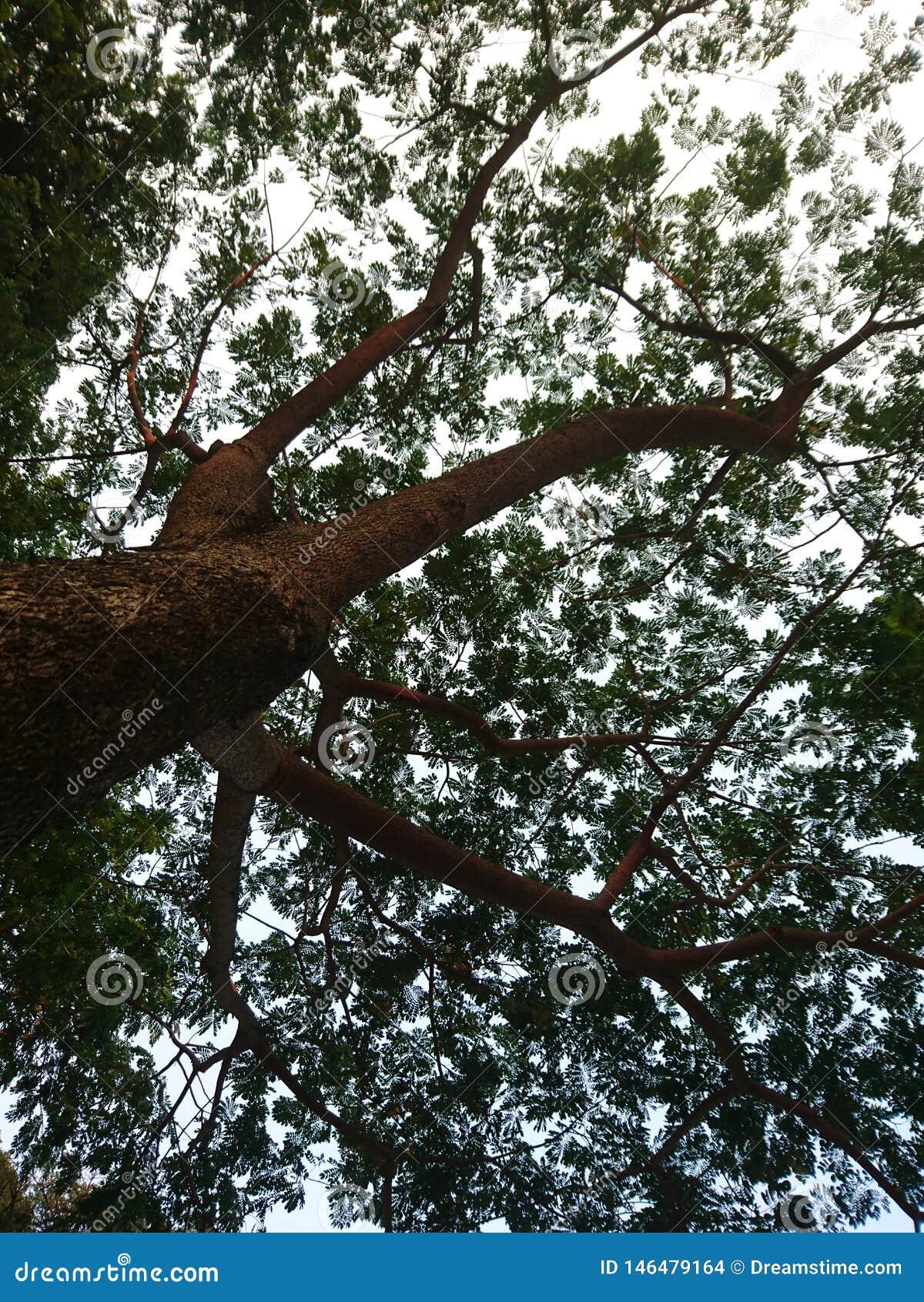 Kontur av stort träds sidor som ser upp från dess stam under skymning