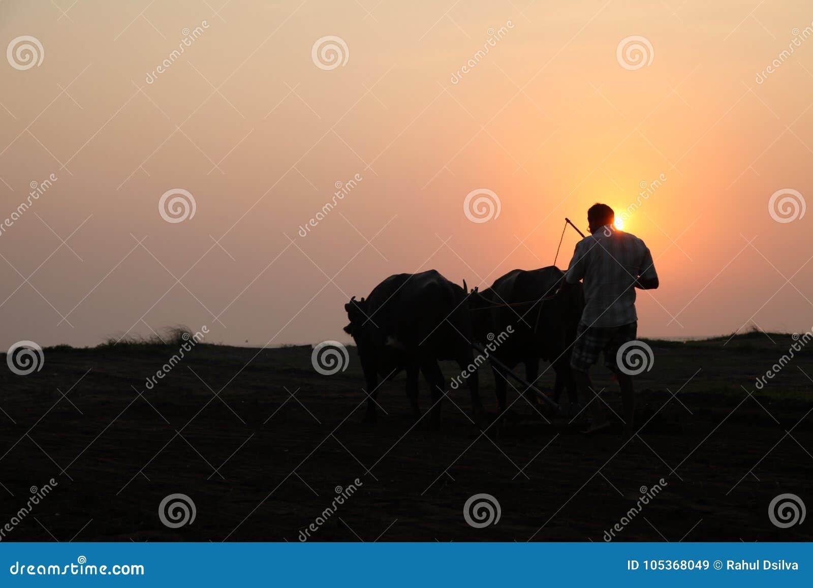 Konturn av en bonde plogar hans fält med ett par av buffeln i förberedelse som planterar i Indien
