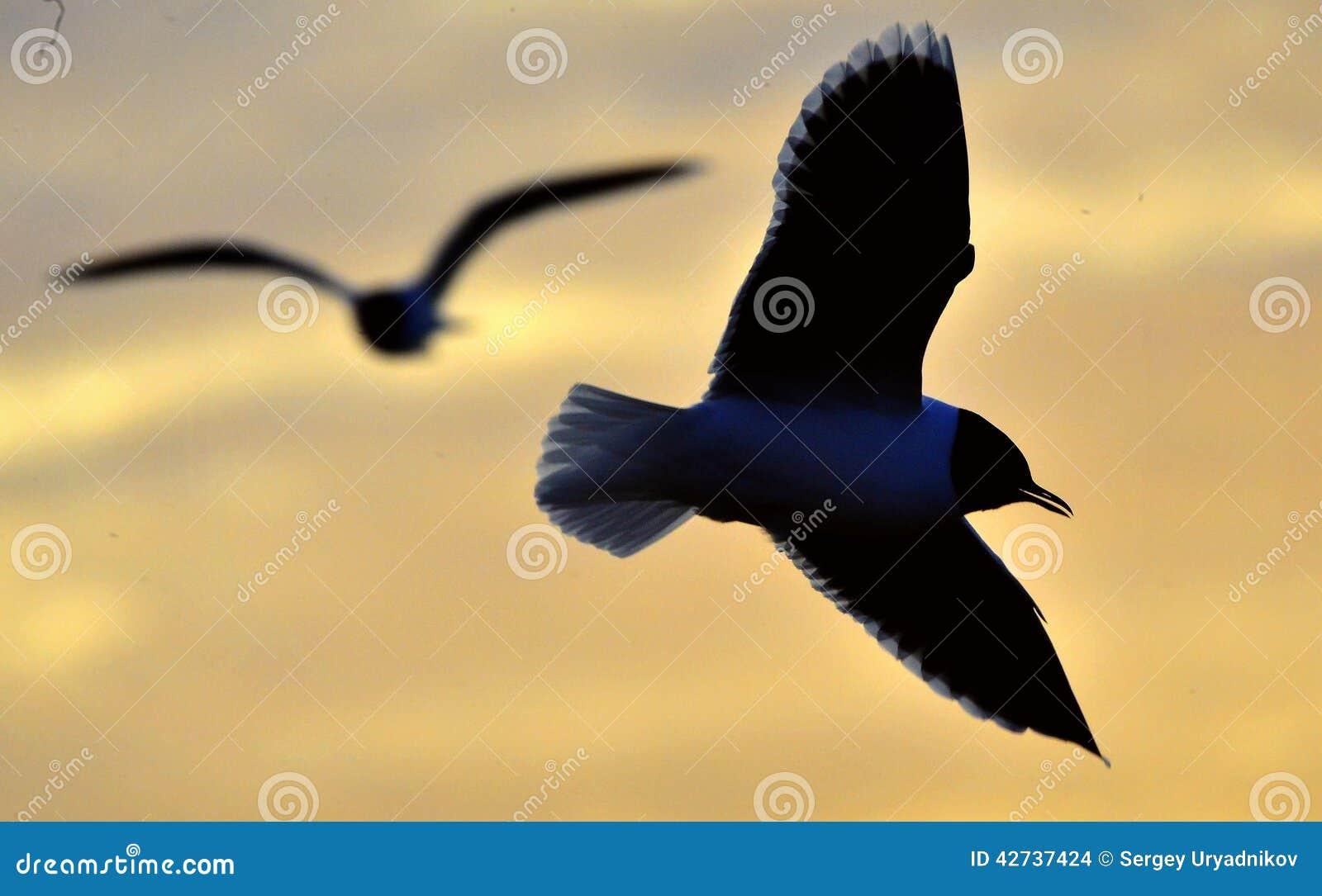 Konturn av flygseagullen