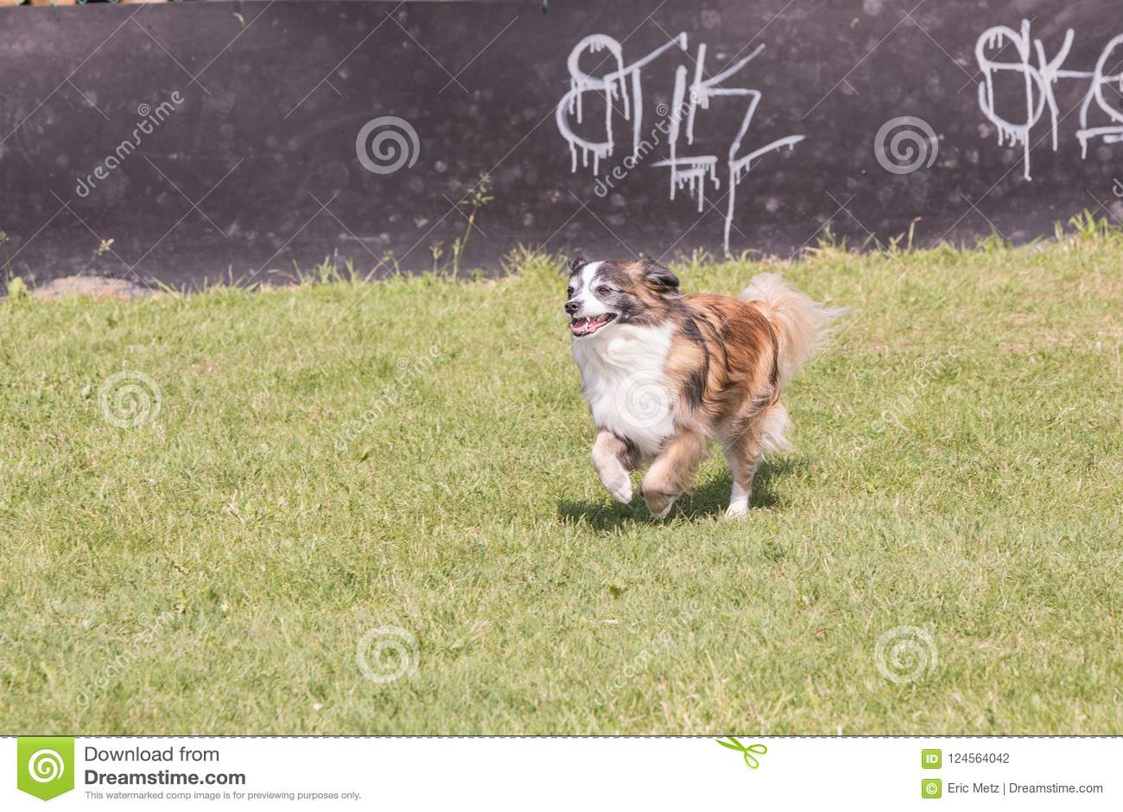 Kontynentalny Zabawkarskiego spaniela pies