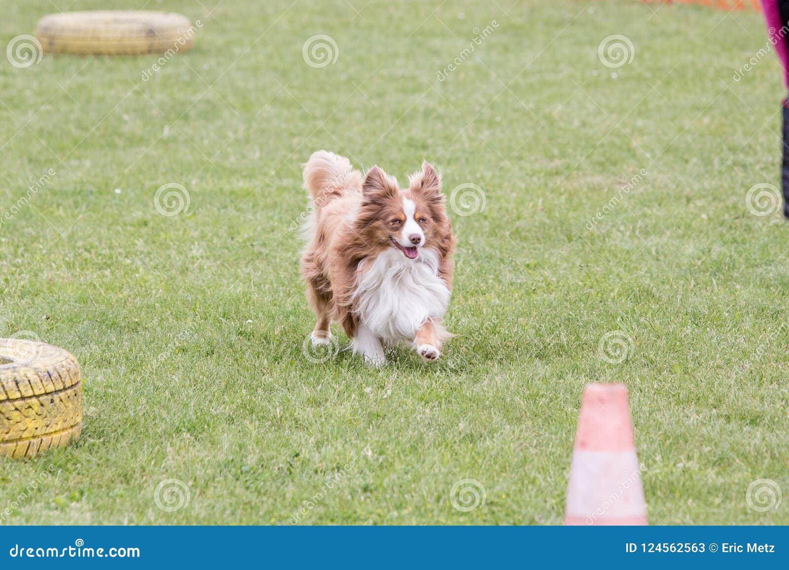 Kontynentalny Zabawkarskiego spaniela psa utrzymanie w Belgium