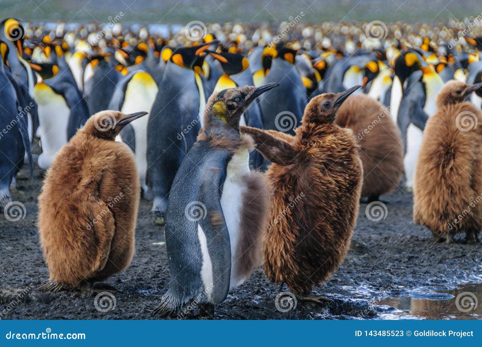 Konung Penguins på guld- hamn