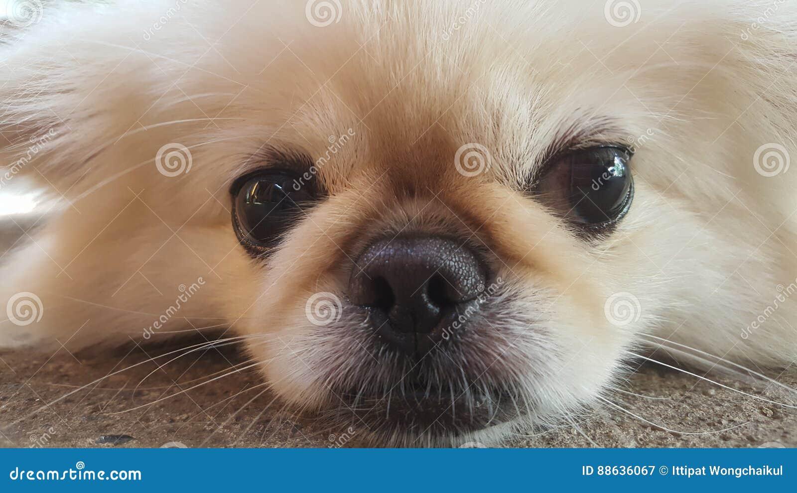Konzentrieren Sie Sich Am Netten Pekinese Hund Der Auf Den Boden