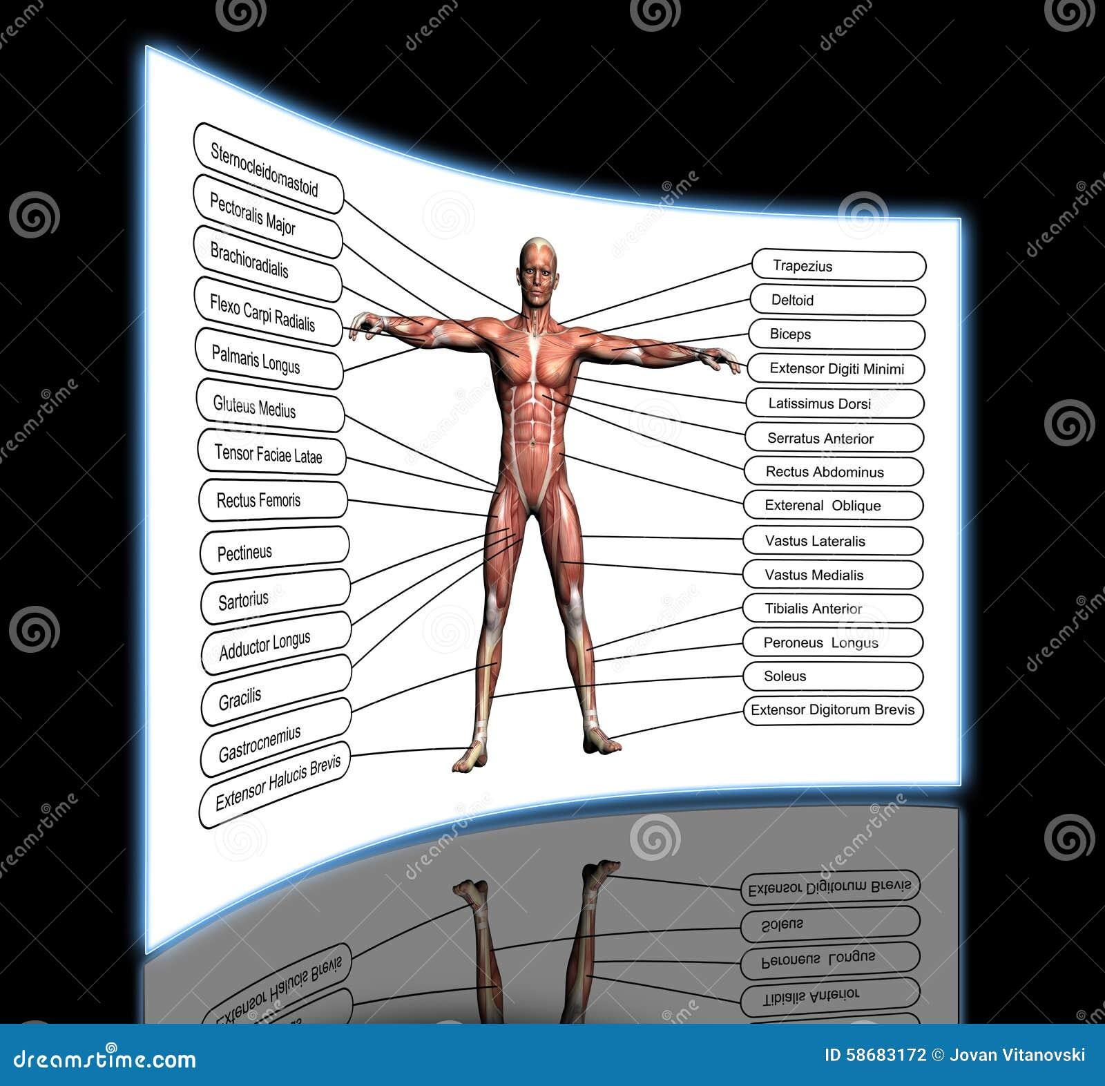 Konzept Der Hohen Auflösung Oder Begriffs-Anatomie Des Menschen 3D ...