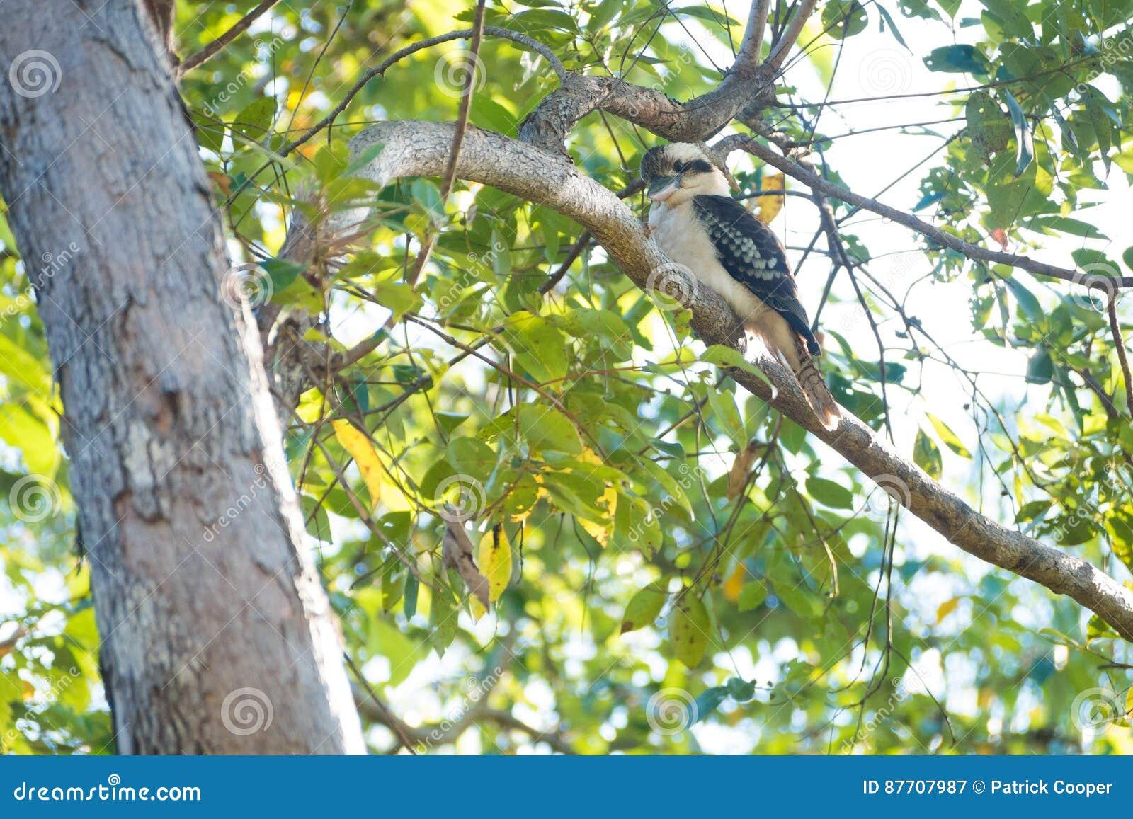 Kookaburra était perché dans l arbre
