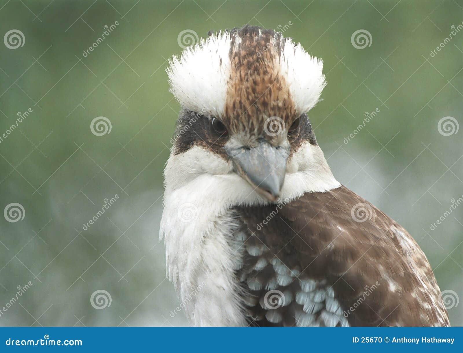 Kookaburra śmiać