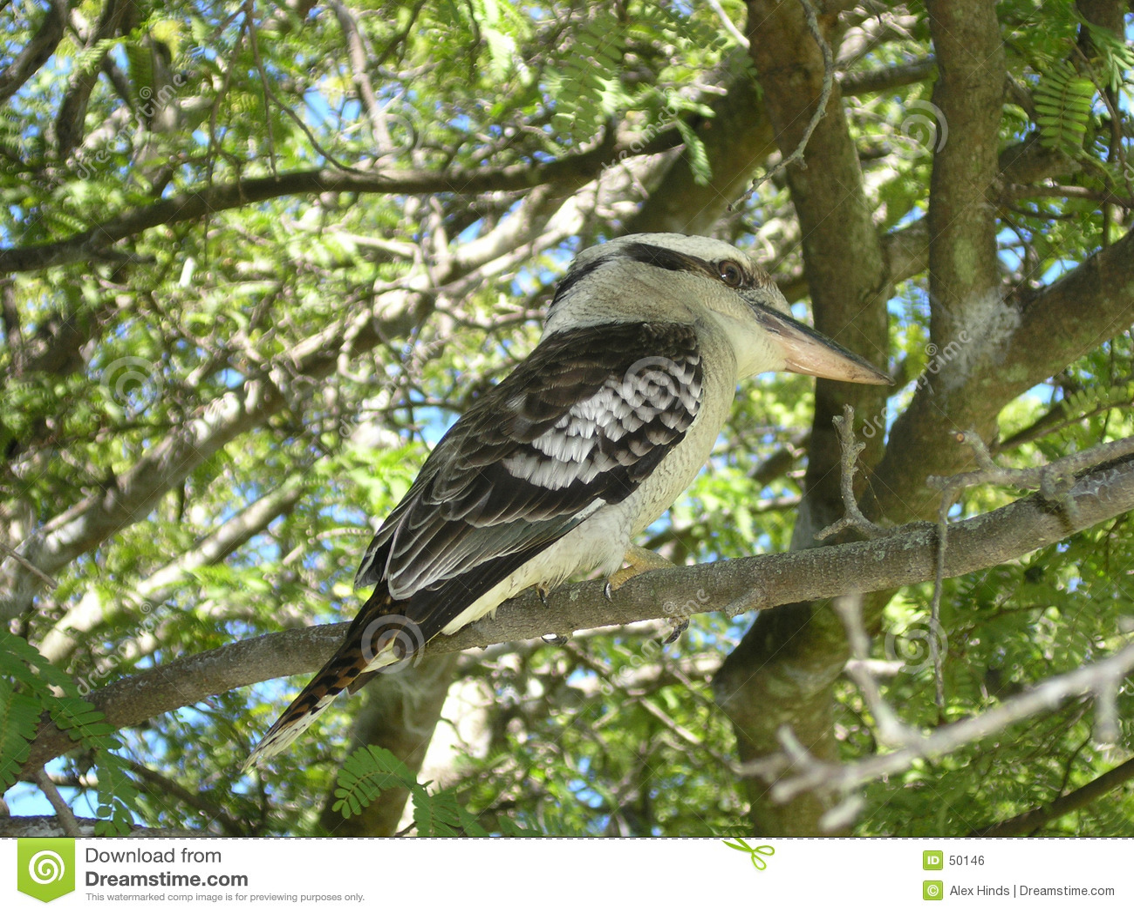 Kookaburra australiano