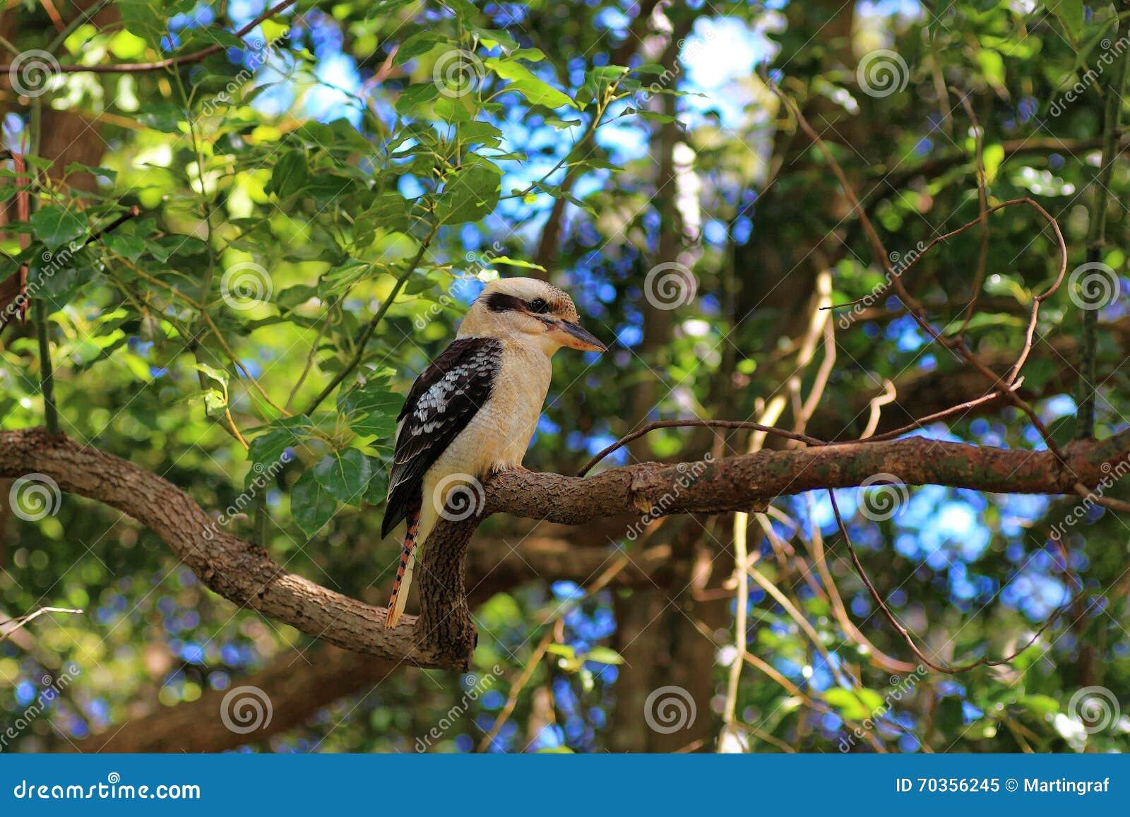 Kookaburra w eukaliptusowym drzewie