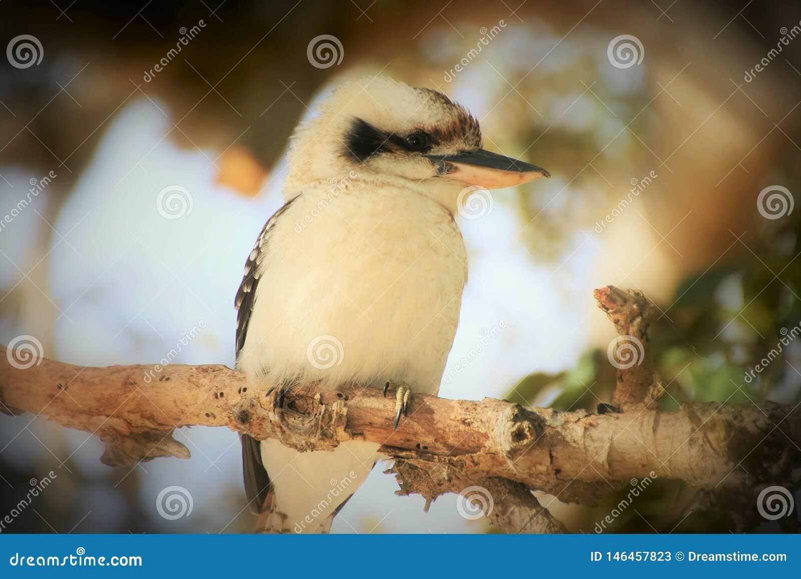 Kookaburru сидя на ветви в позднем вечере