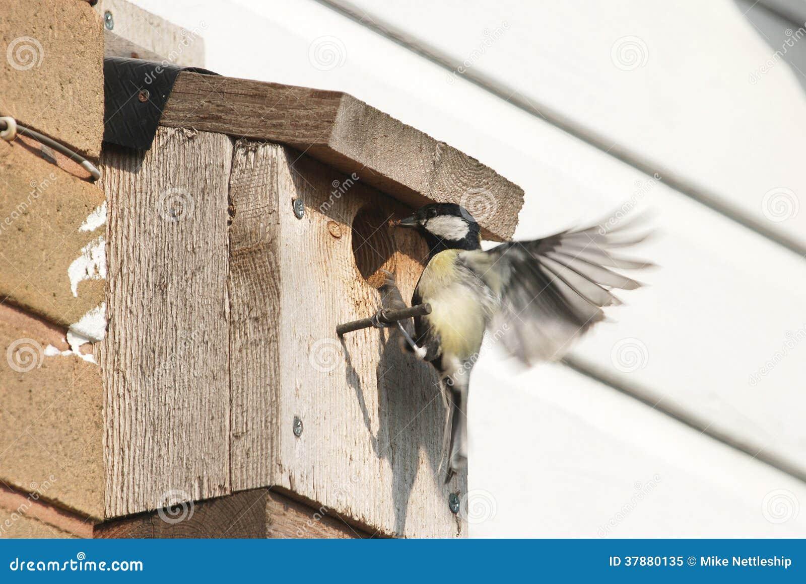 Koolmees voedende kuikens in nestkastje