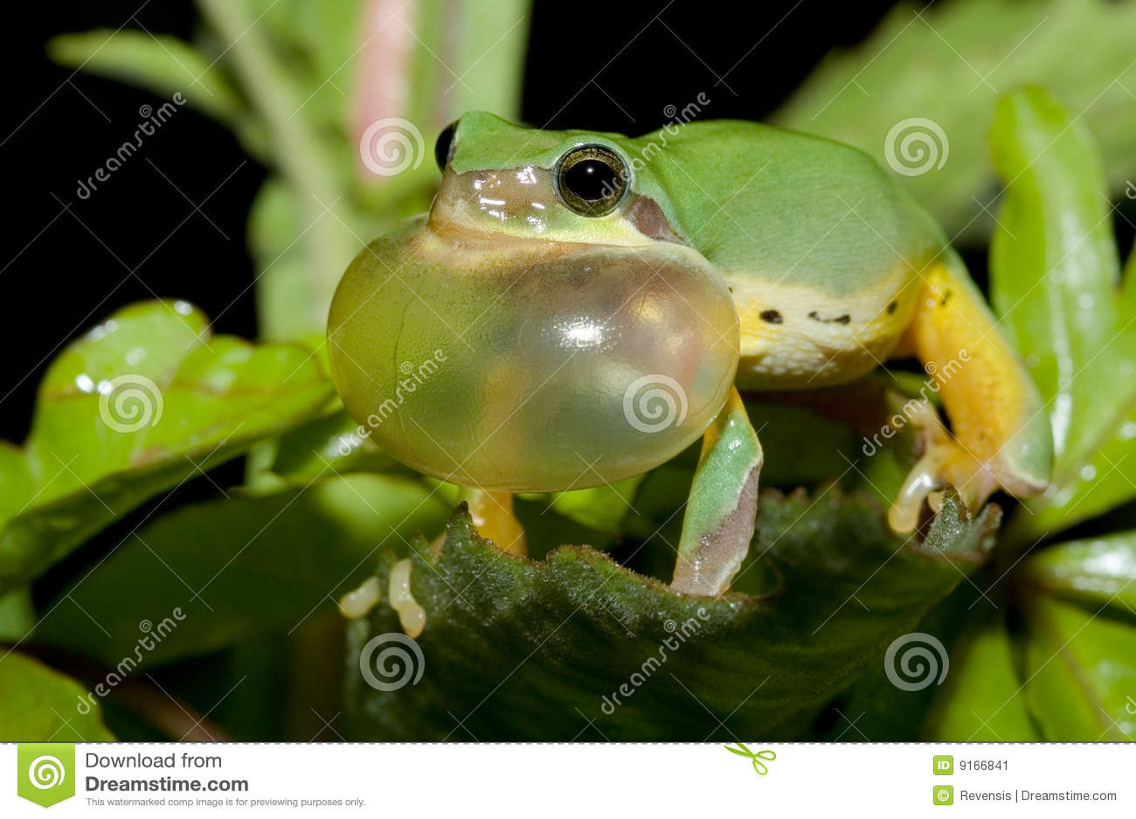Koperczaki żaby wiosna drzewo