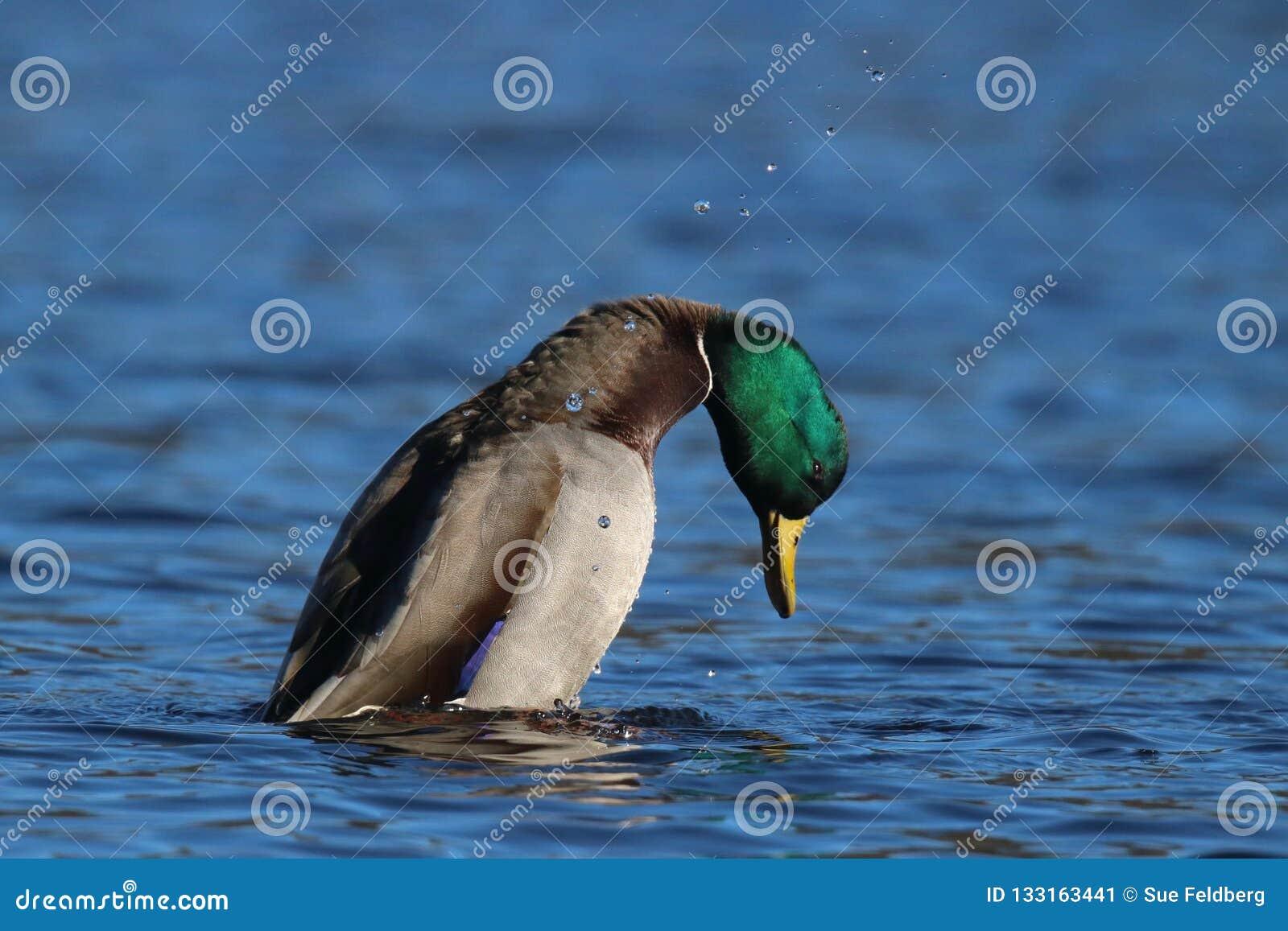 Koperczaki zachowanie - Drake Mallard kaczka na jeziorze
