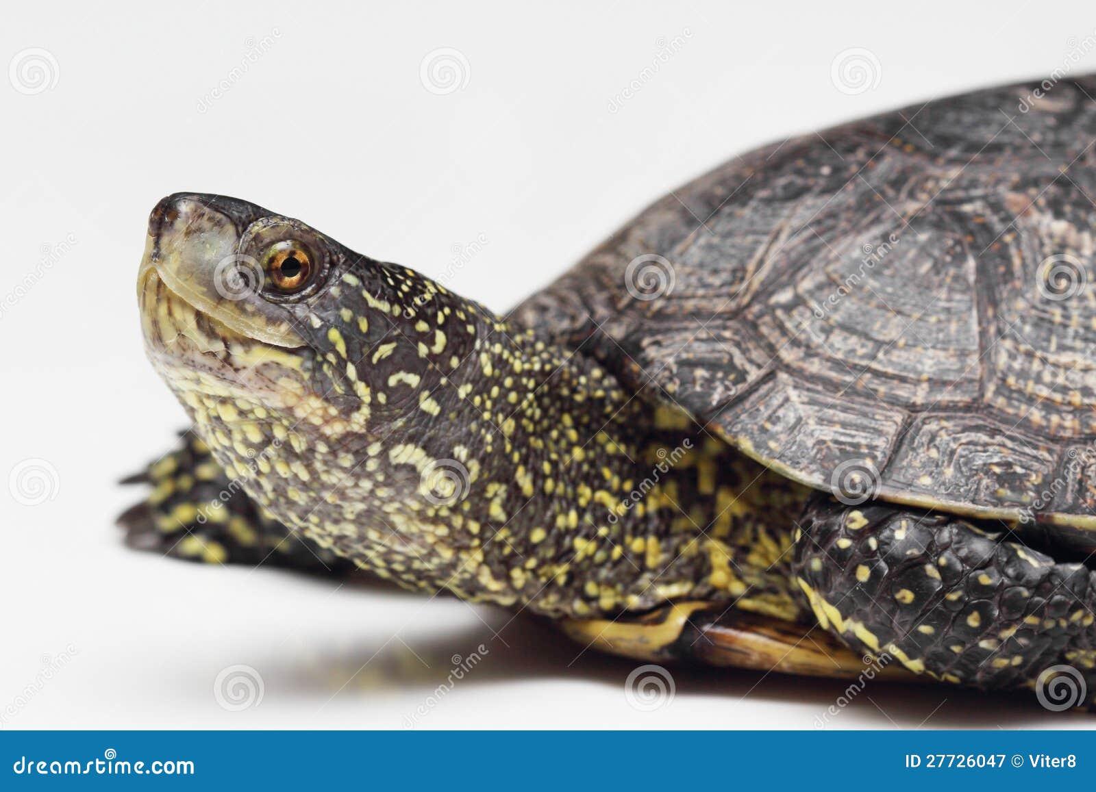 Kopf der europäischen Teichschildkröte