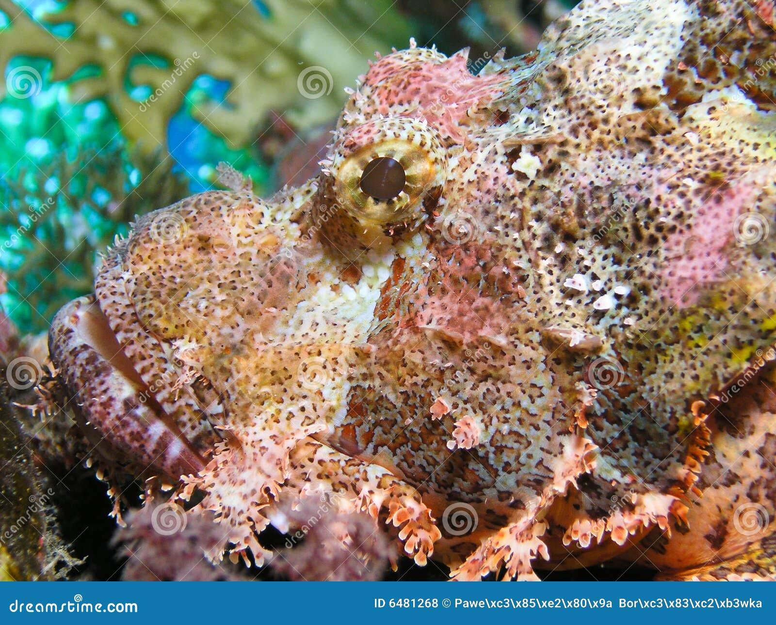 Kopf der Skorpion-Fische stockfoto. Bild von bunt, tief
