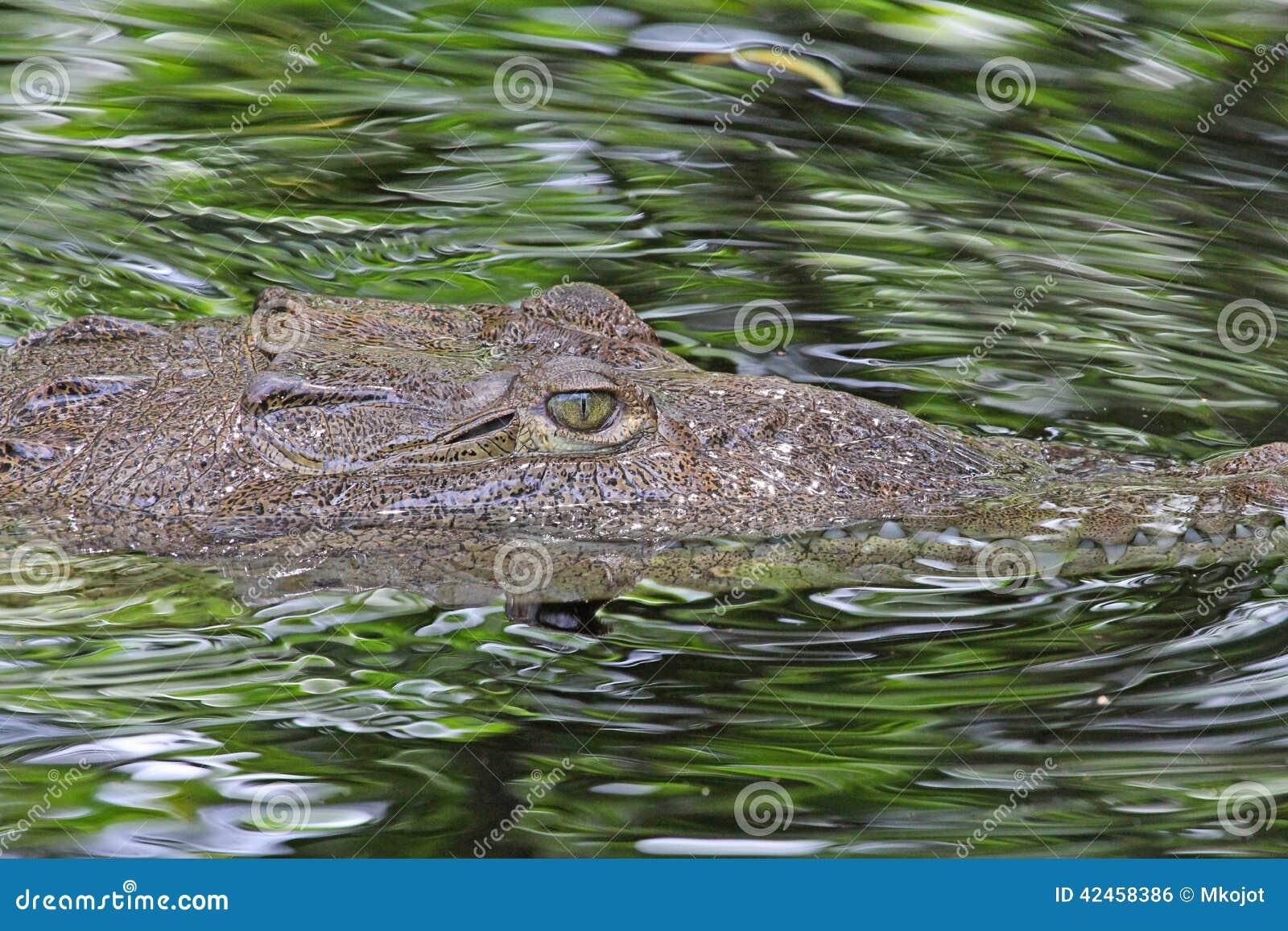 Kopf des amerikanischen Krokodils im Wasser im Profil