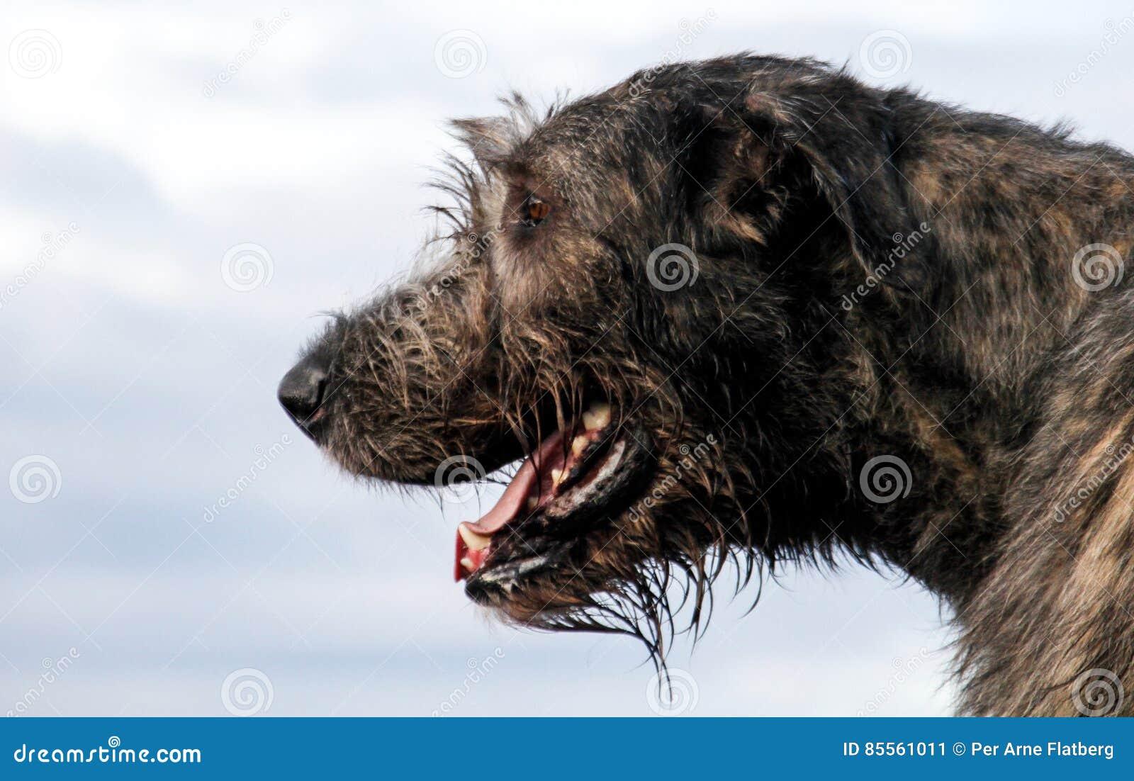 Kopf des irischen Wolfshunds