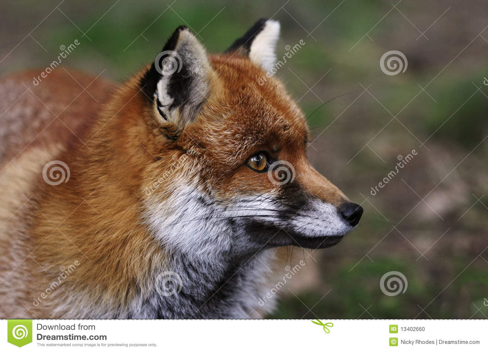 Kopf eines roten Fox