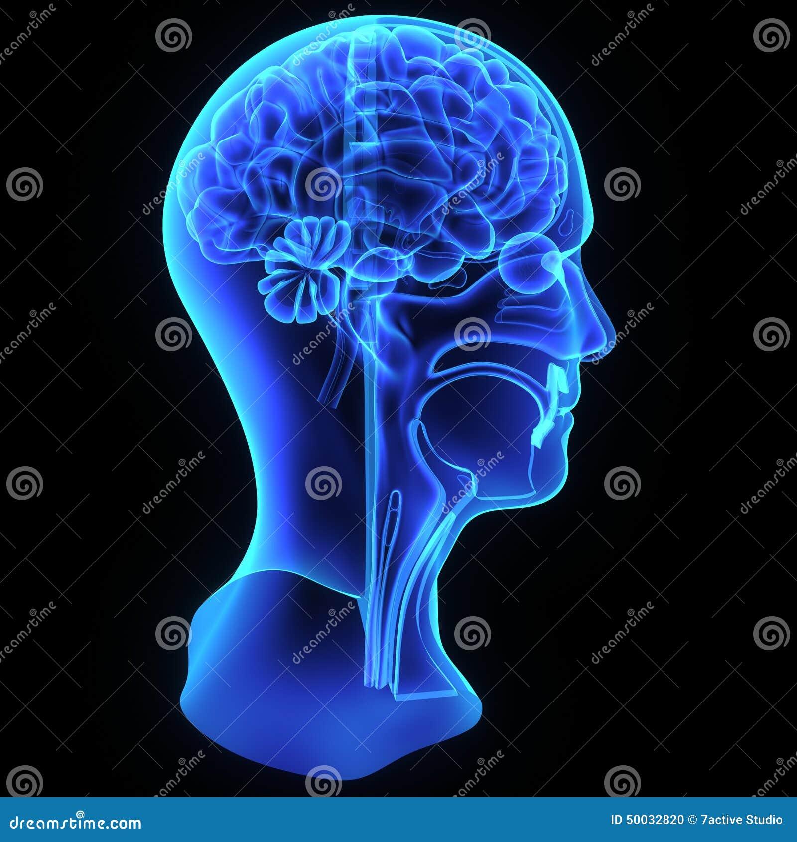 Kopf- und Halsanatomie stock abbildung. Illustration von medizin ...
