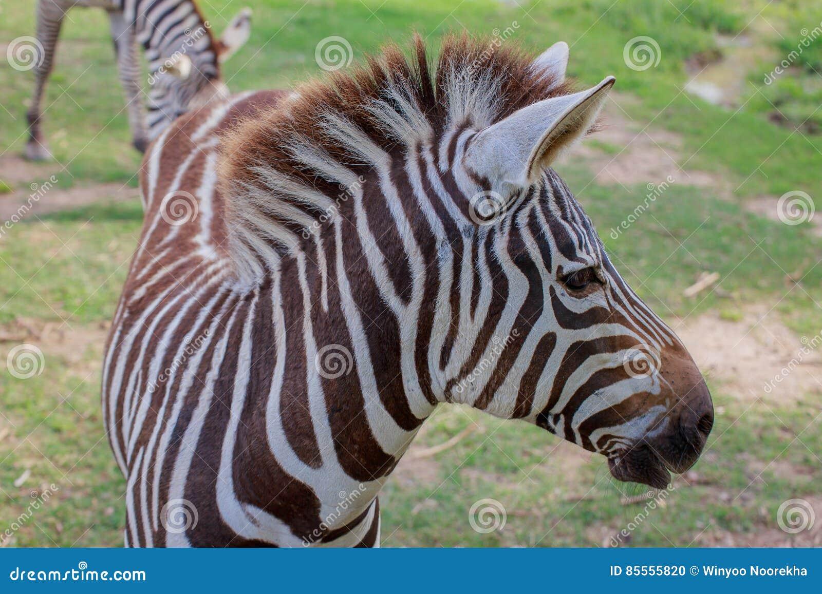 Kopf von Zebra