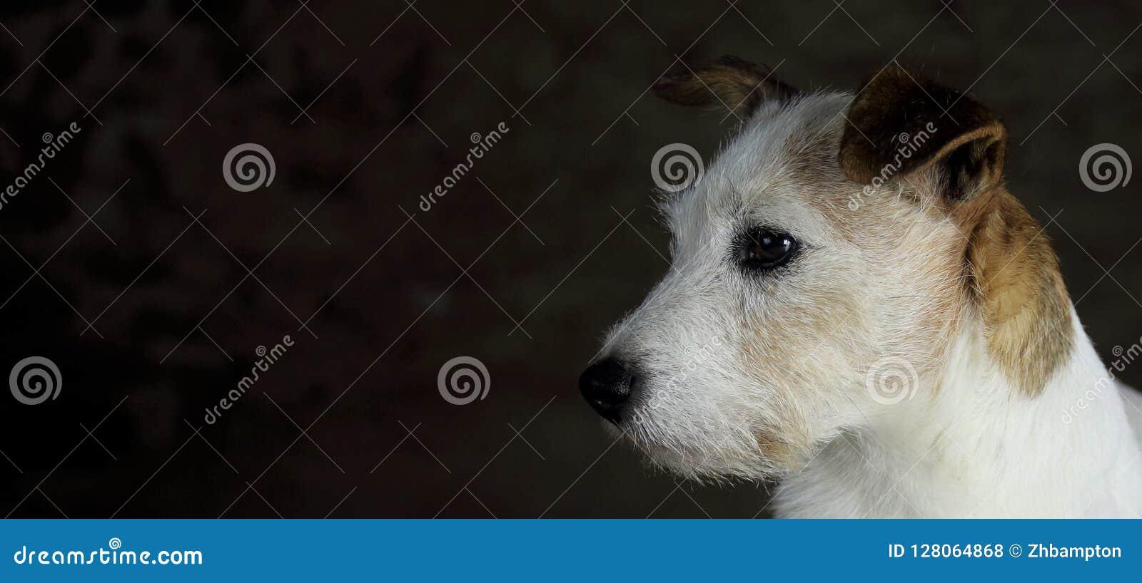 Kopf weißen und braunen Jack Russell-Hundes mit Kopienraum