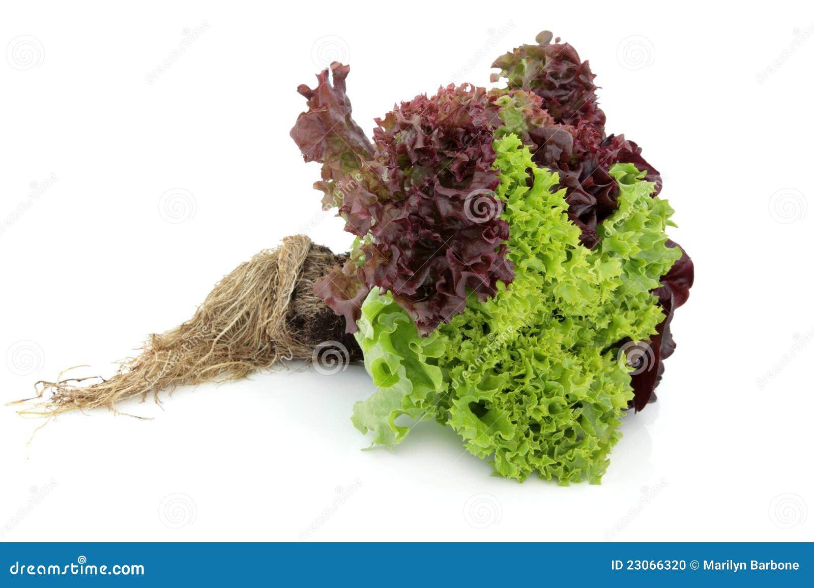 Kopfsalat-Anlage