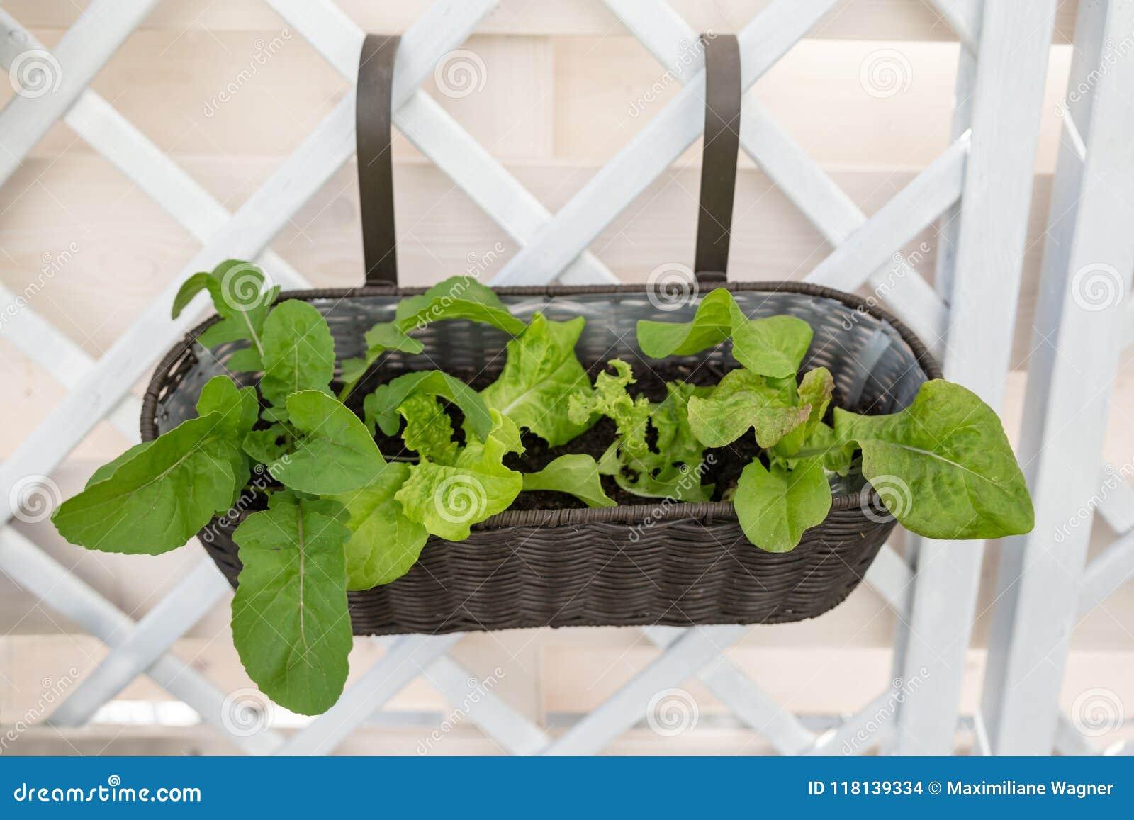 Kopfsalat-Anlagen im Balkon-Kasten, der am Gitter hängt