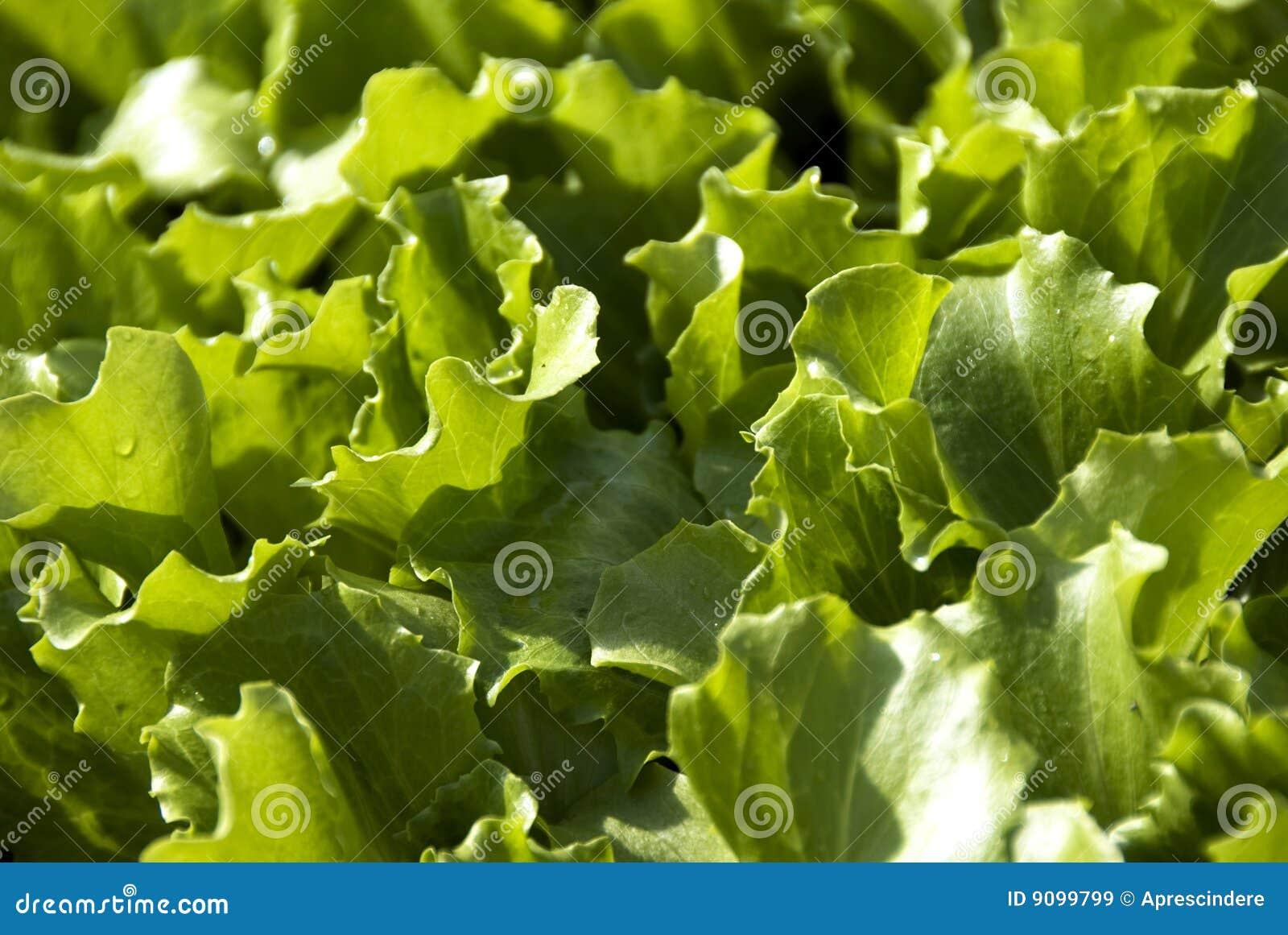 Kopfsalatblätter
