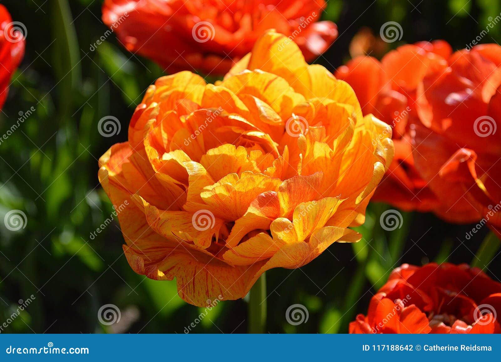 Kopia Różany tulipan, Zamyka Up