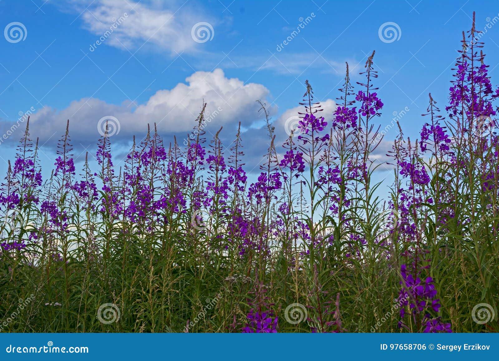 Koporye Tea Flowers And Blue Sky With White Clouds Like Wads Of