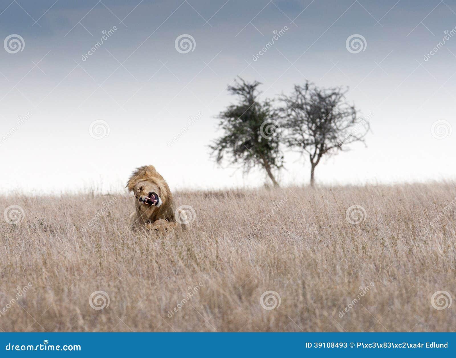Koppelende leeuwen.
