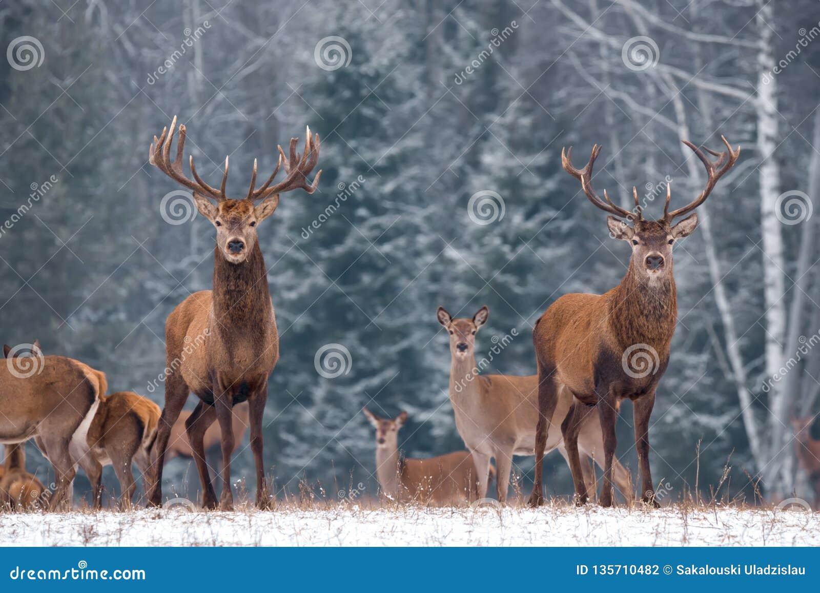 Kopplar samman Bedöva bild av den manliga cervusen Elaphus för två hjortar mot vinterbjörken Forest And Fuzzy Silhouettes Of floc