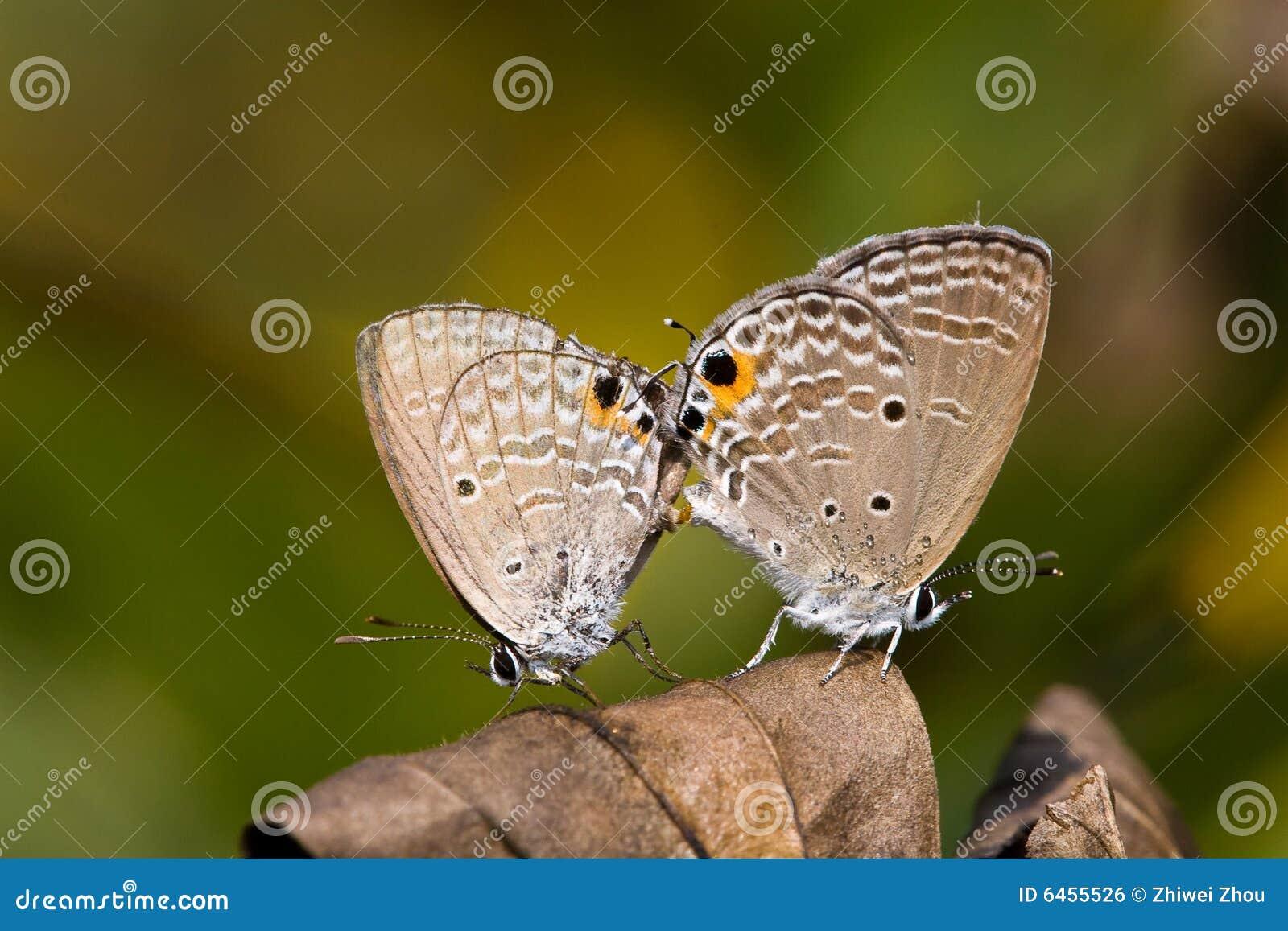 Kopulować motyla