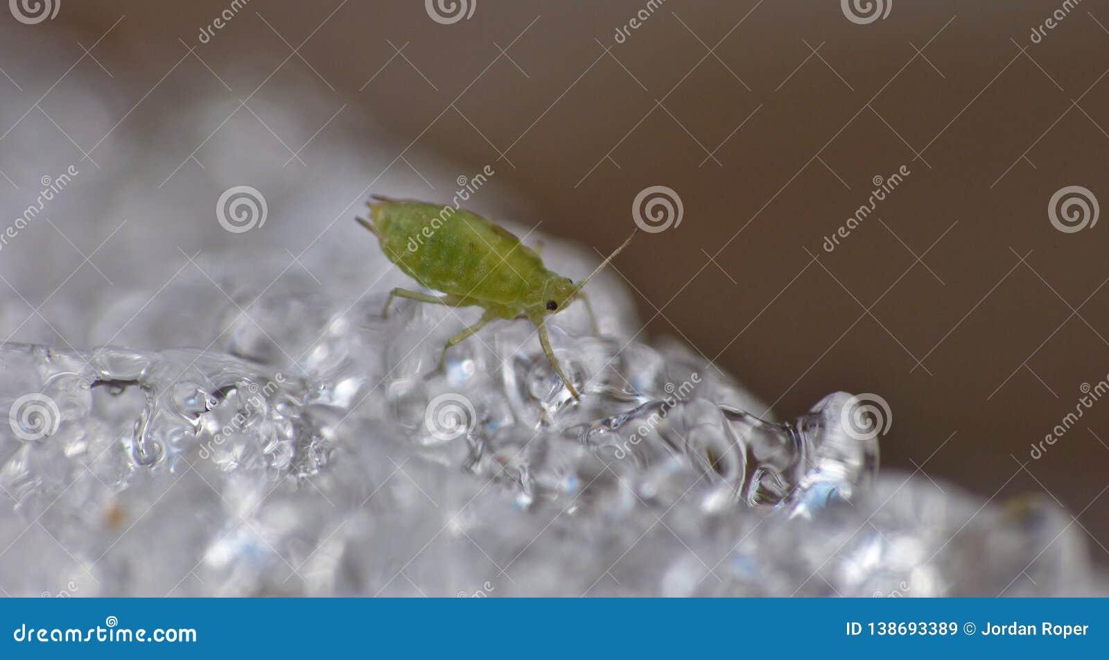 Korówka na lodzie Zjednoczone Królestwo - Makro- fotografia -