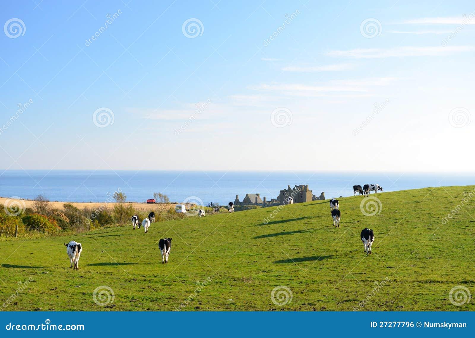 Kor går till skrubbsåret