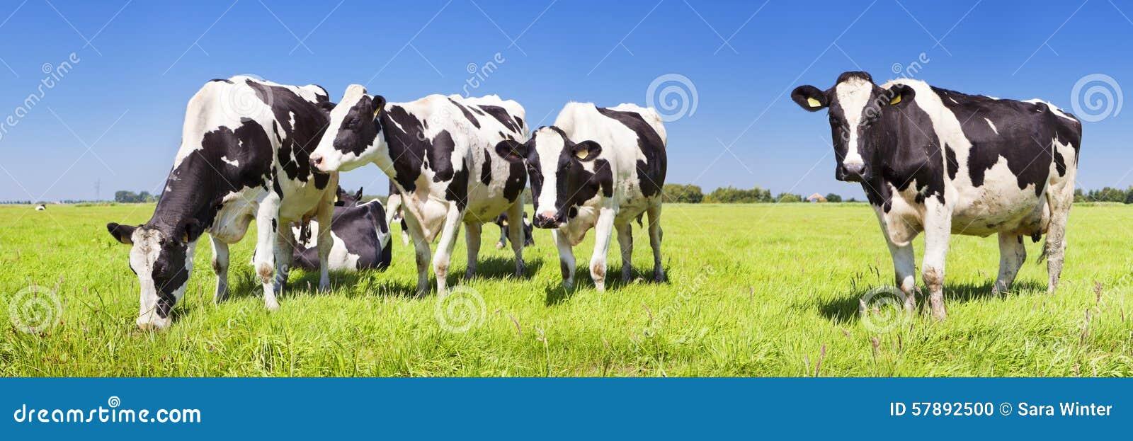 Kor i ett nytt gräs- fält på en klar dag