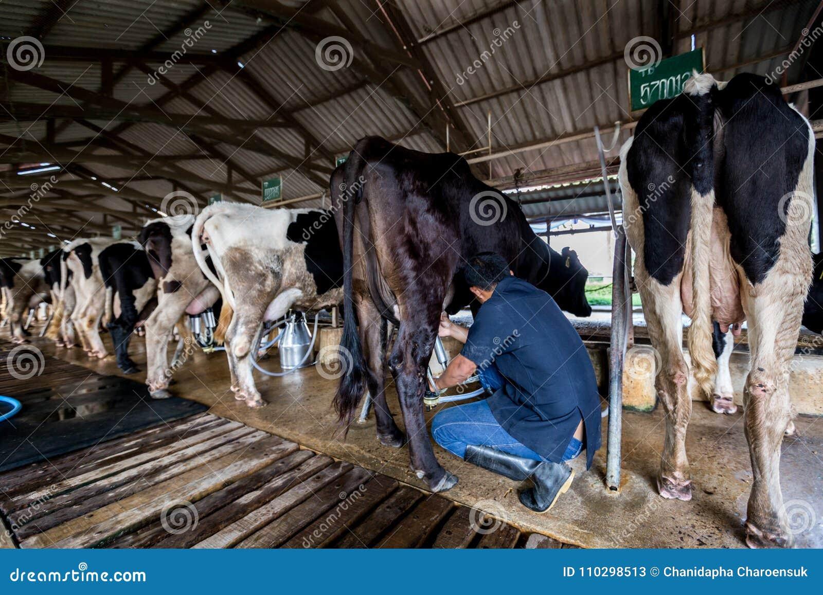 Kor med en man mjölkar i en mejerilantgård