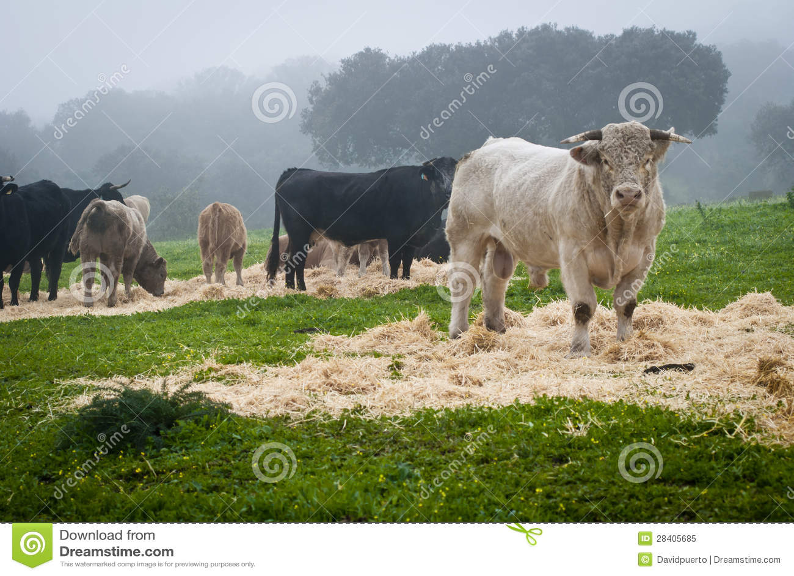 Kor och tjurar