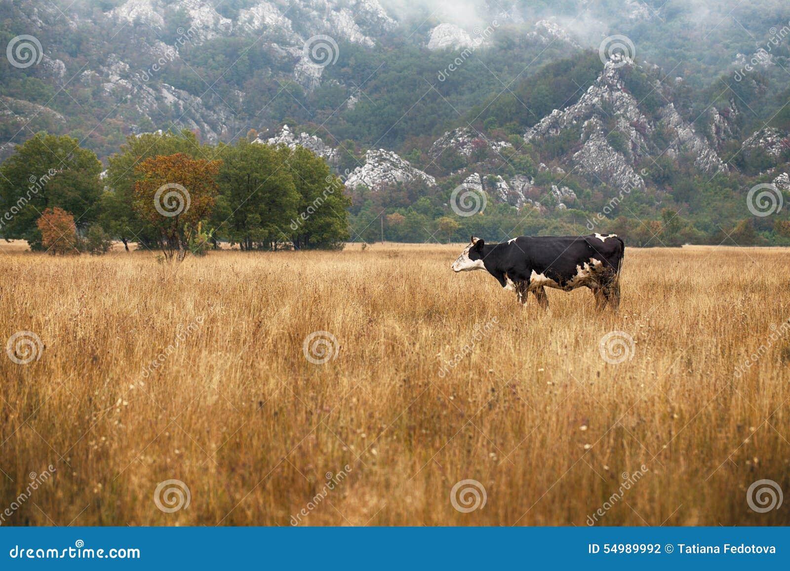 Kor och tjurar som betar på ängar i Portugal
